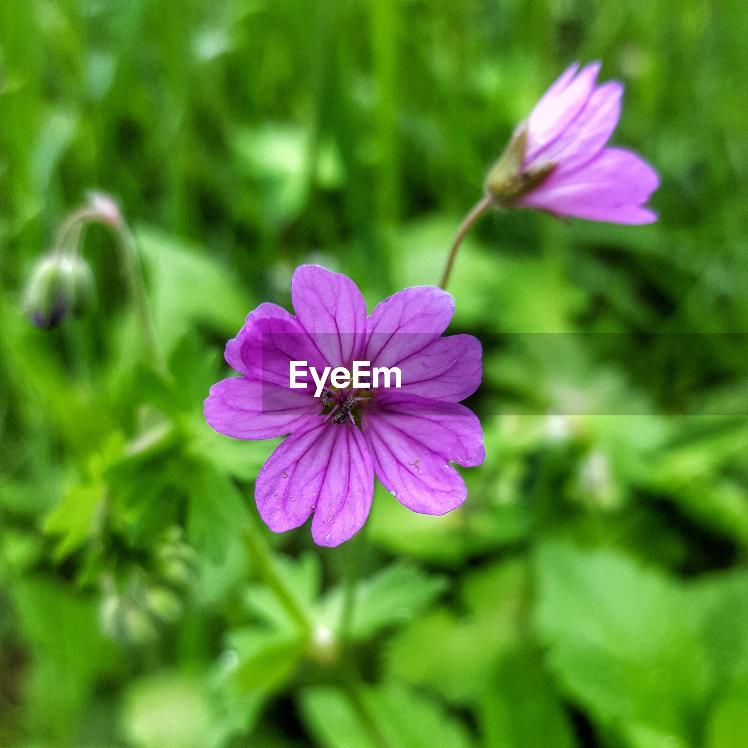 CLOSE-UP OF PINK FLOWER AGAINST PURPLE FLOWERING PLANT