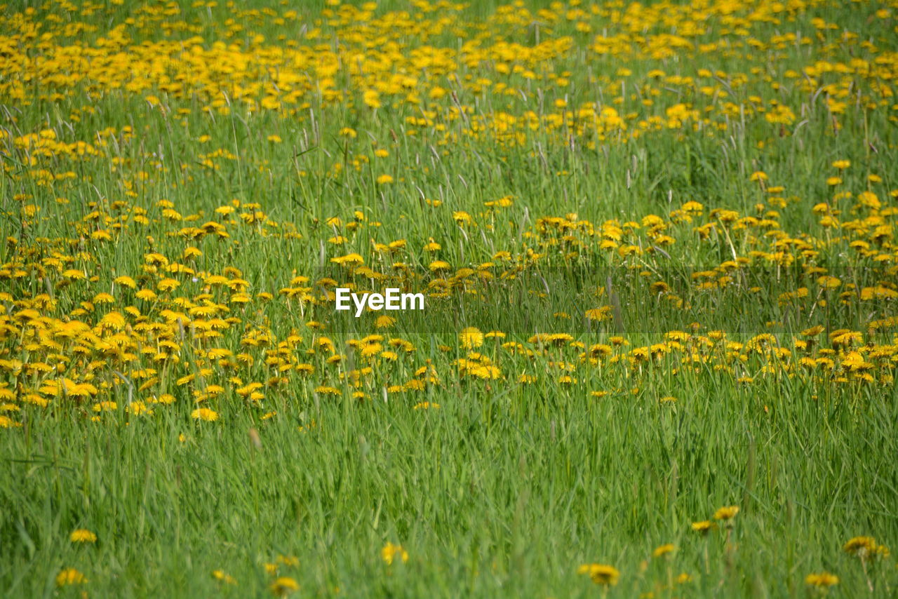 yellow, flower, field, flowering plant, plant, land, beauty in nature, growth, landscape, freshness, rural scene, agriculture, nature, abundance, environment, fragility, crop, grass, vulnerability, day, no people, outdoors, springtime, flowerbed