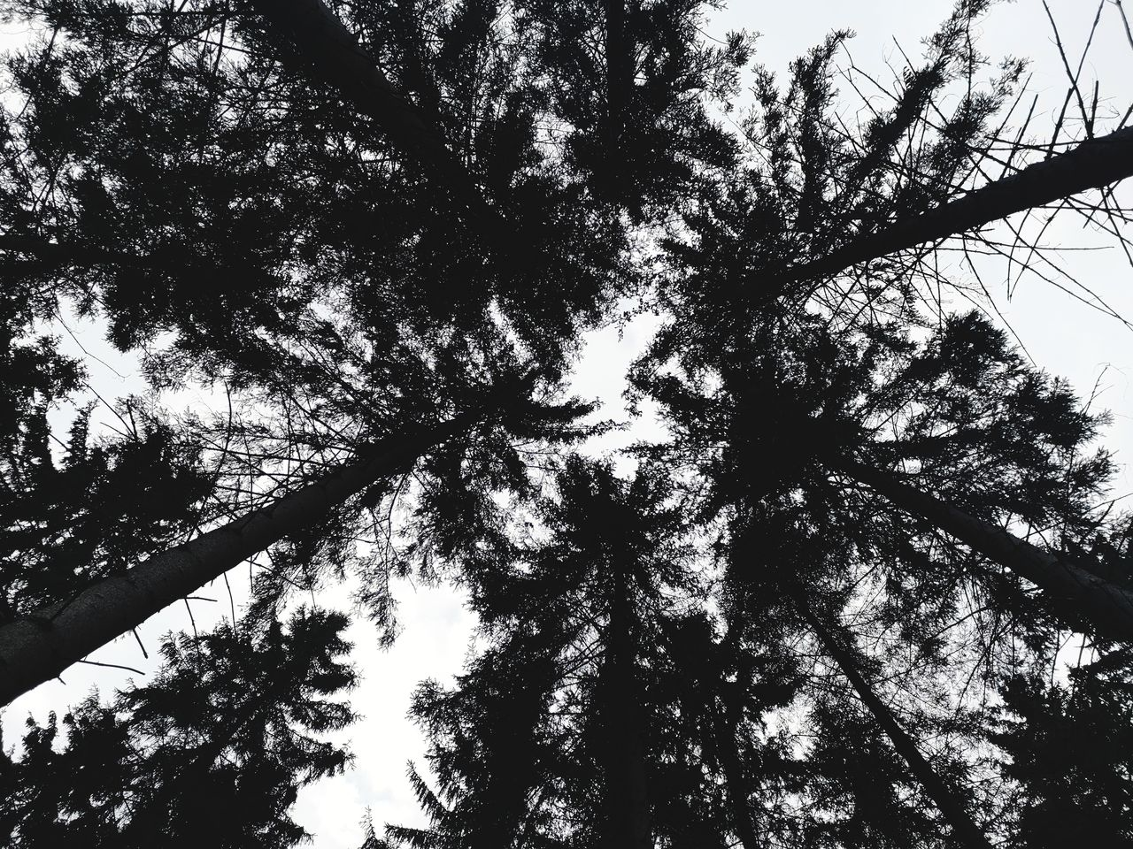 tree, plant, low angle view, sky, growth, silhouette, no people, beauty in nature, nature, tranquility, tree trunk, trunk, day, outdoors, tall - high, branch, tree canopy, forest, backgrounds, directly below