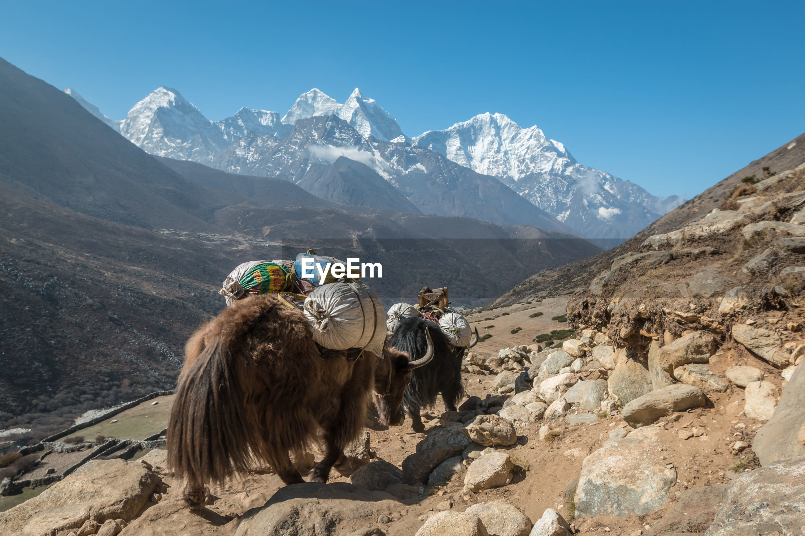 Rear view of mammals carrying luggage while walking on mountain
