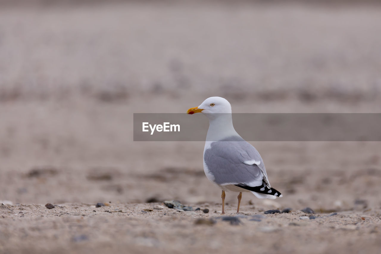 bird, animal, animal themes, vertebrate, animal wildlife, animals in the wild, one animal, seagull, land, sea, selective focus, perching, day, no people, beach, nature, sea bird, water, outdoors, sand