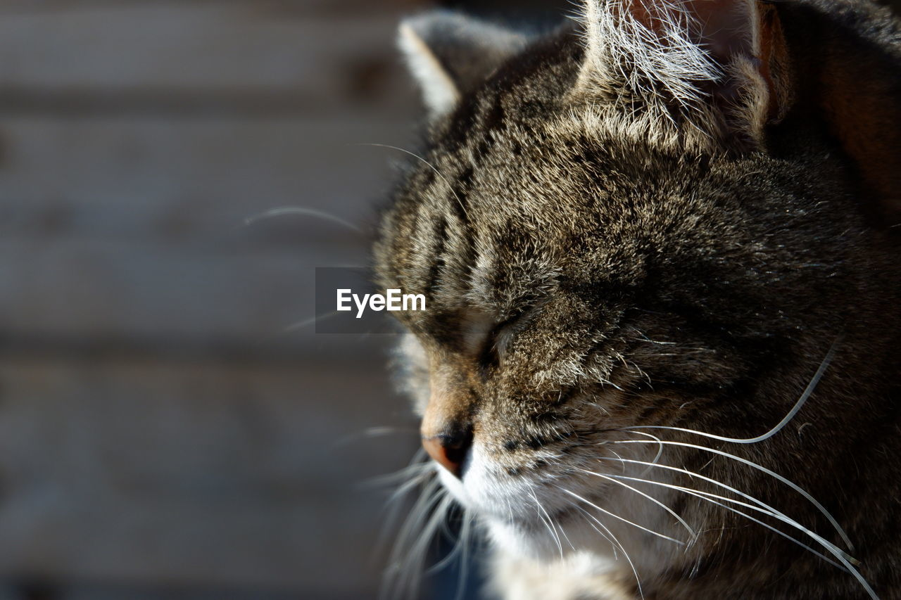 one animal, mammal, animal, animal themes, cat, domestic cat, feline, domestic, pets, domestic animals, vertebrate, close-up, focus on foreground, no people, whisker, animal body part, day, looking, relaxation, looking away, animal head, tabby