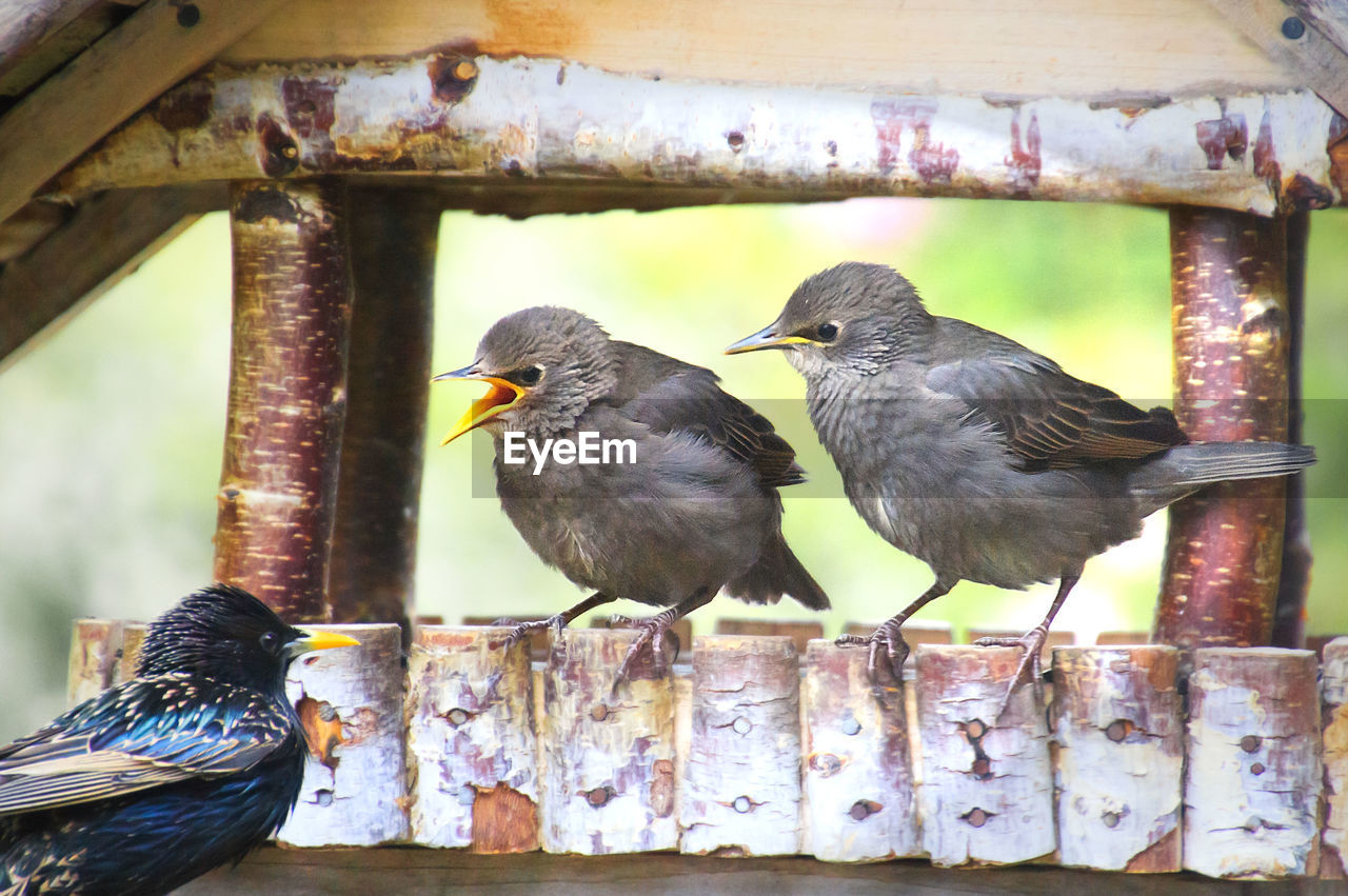 bird, vertebrate, group of animals, animal themes, animal, animal wildlife, animals in the wild, two animals, perching, day, focus on foreground, no people, close-up, outdoors, wood - material, togetherness, nature, beak, looking, animal family