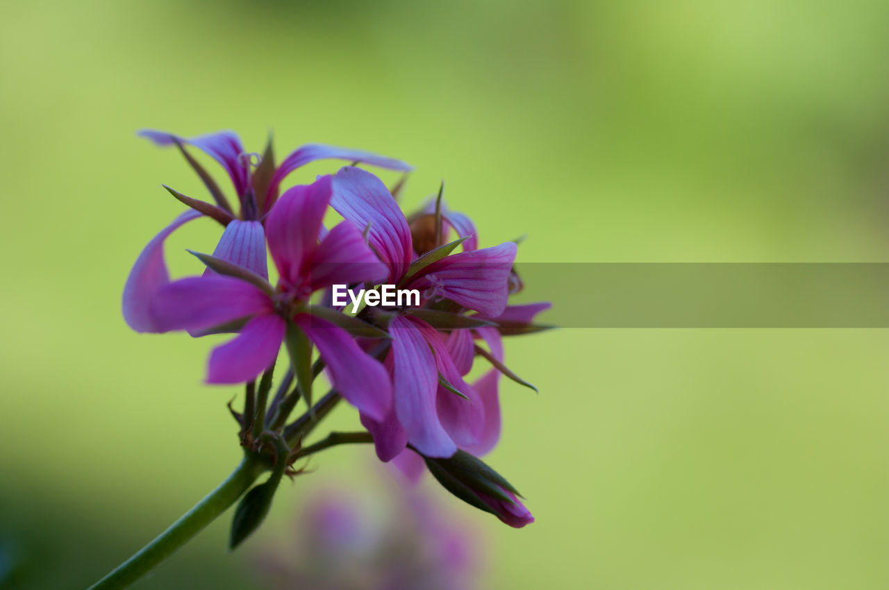 flower, flowering plant, fragility, vulnerability, plant, beauty in nature, growth, petal, freshness, close-up, nature, inflorescence, flower head, purple, no people, outdoors, relaxation, beauty, pink color, environment, bright, leaves, spring, sepal