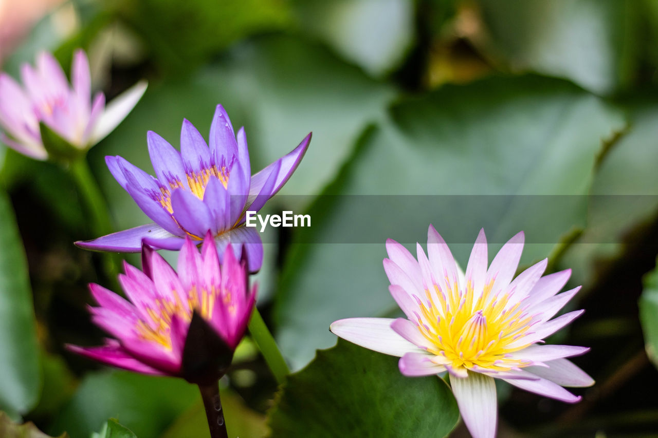 flowering plant, flower, vulnerability, fragility, freshness, beauty in nature, plant, petal, growth, flower head, inflorescence, close-up, water lily, nature, purple, leaf, no people, day, focus on foreground, plant part, pond, pollen, lotus water lily, gazania