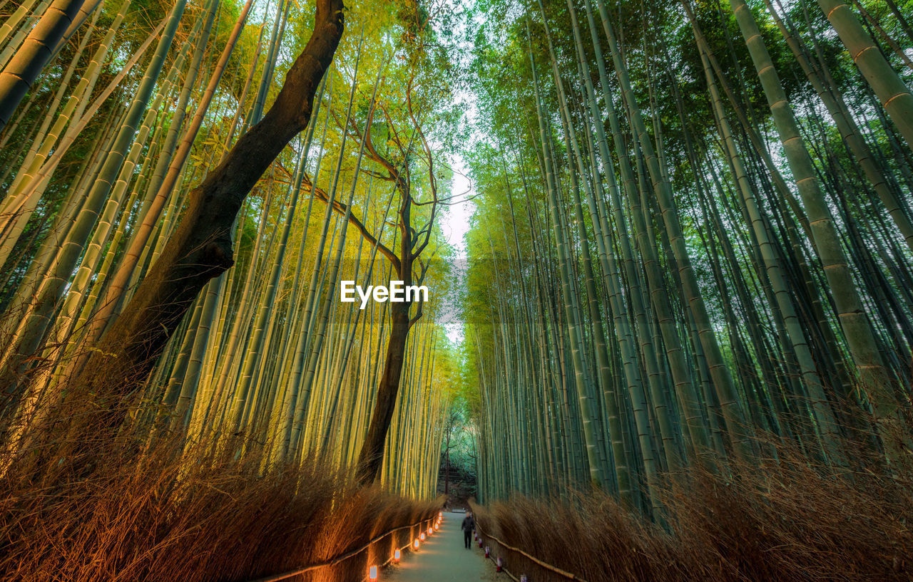 forest, tree, plant, land, bamboo - plant, beauty in nature, bamboo grove, growth, bamboo, woodland, nature, tranquility, green color, scenics - nature, tranquil scene, no people, day, outdoors, direction, tree trunk, tree canopy, palm leaf, treelined