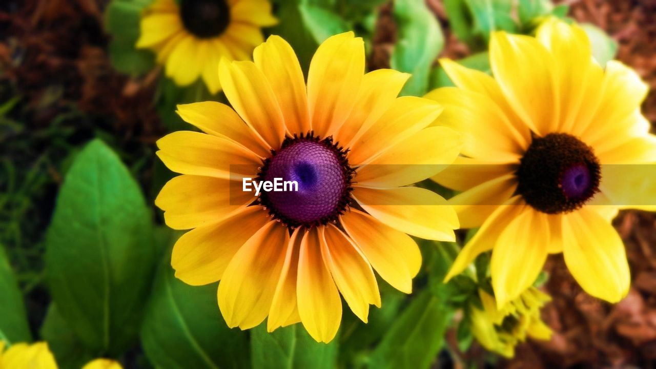 flower, petal, fragility, flower head, beauty in nature, yellow, freshness, growth, nature, plant, blooming, focus on foreground, day, close-up, no people, outdoors, black-eyed susan