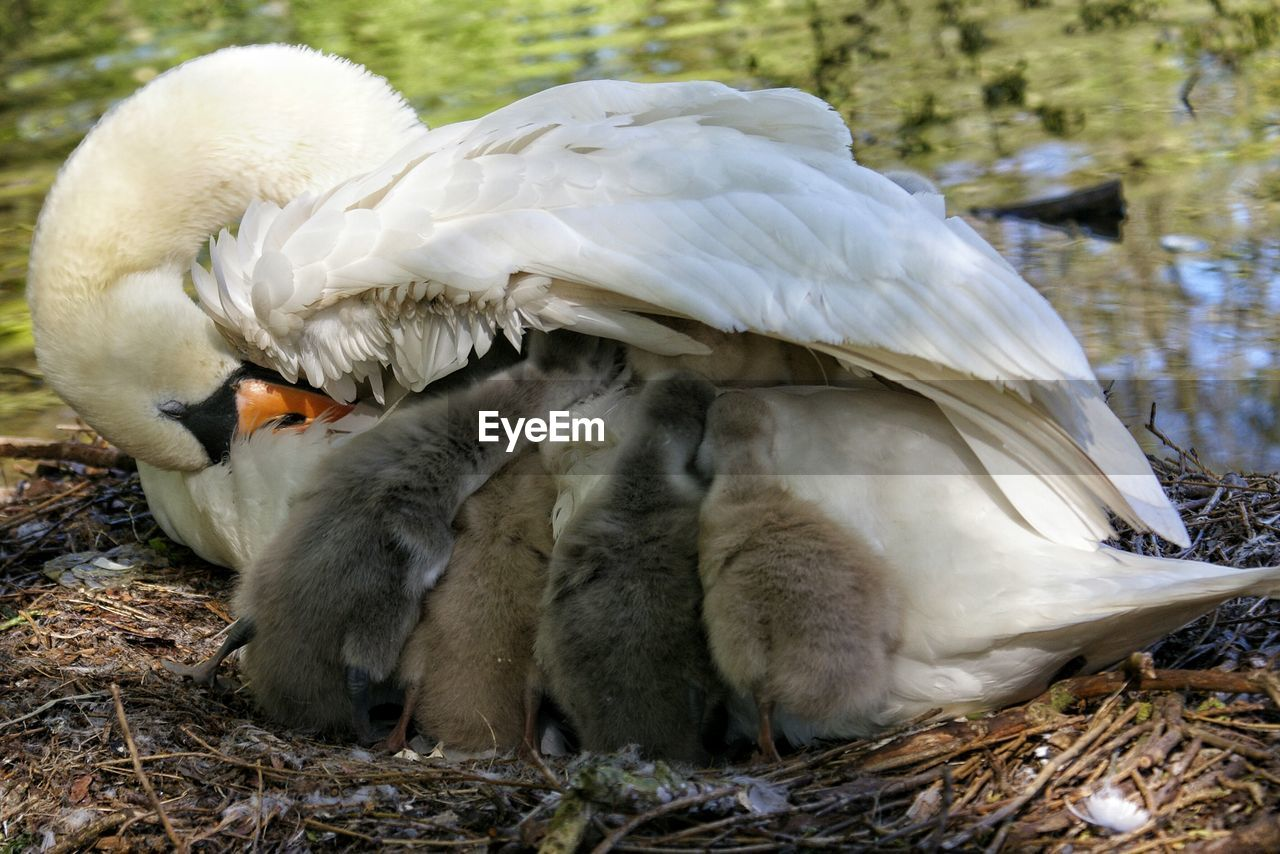 Close-Up Of Mute Swan With Cygnets In Nest