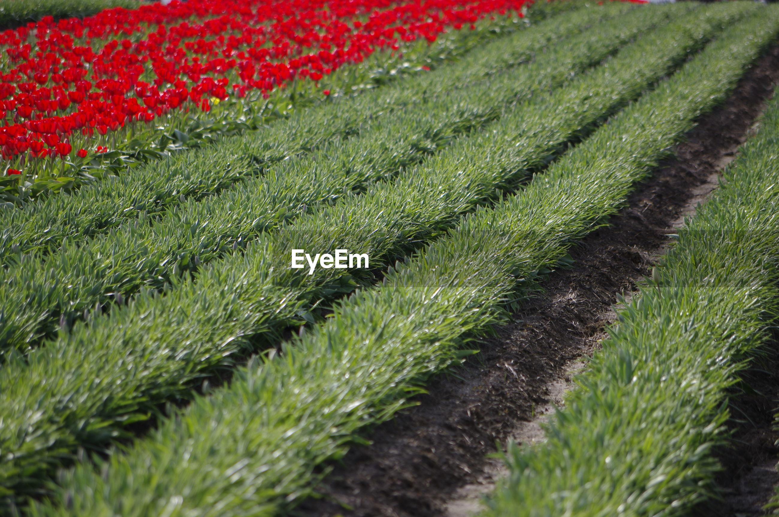CLOSE-UP OF FRESH GREEN FARM