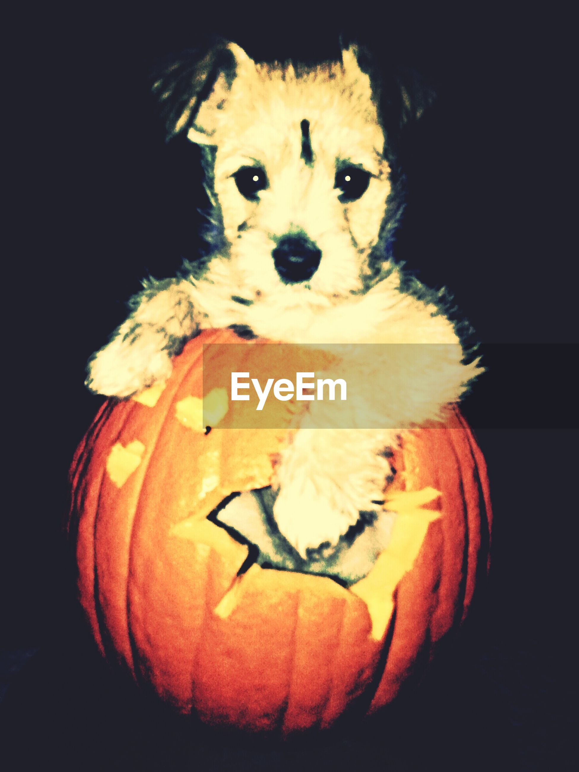 View of puppy leaning on pumpkin