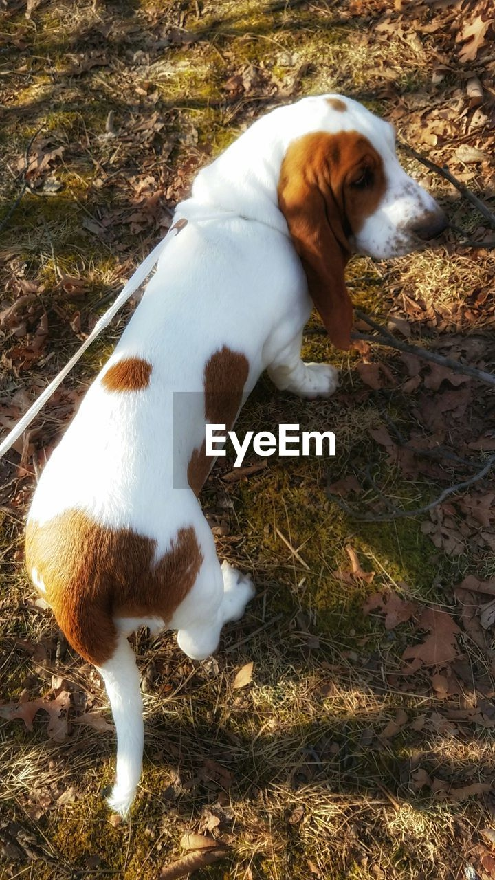 domestic animals, one animal, pets, animal themes, dog, mammal, high angle view, grass, day, field, outdoors, nature, full length, no people, leaf, standing, beagle, close-up