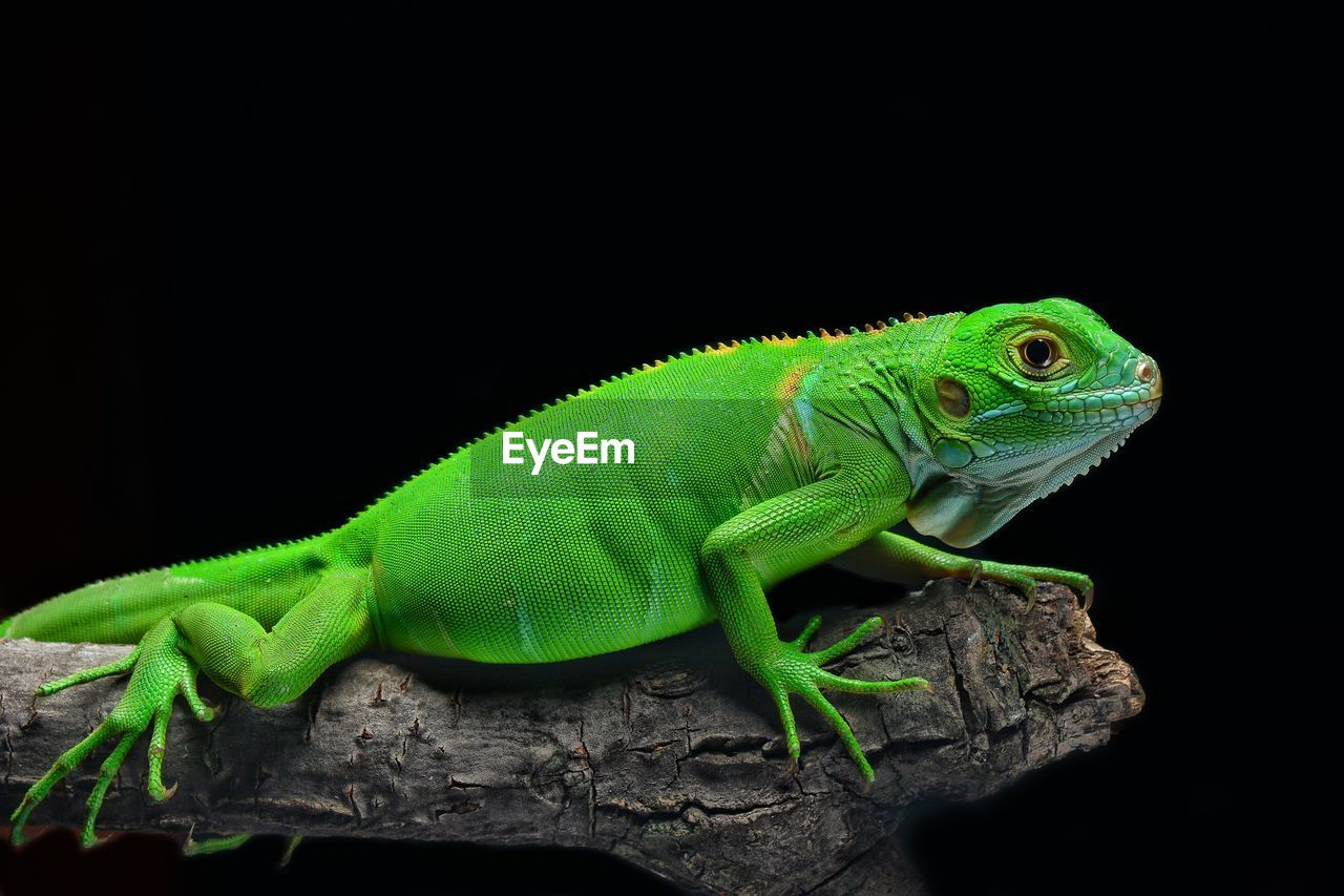 Close-Up Of Reptile On Branch Against Black Background