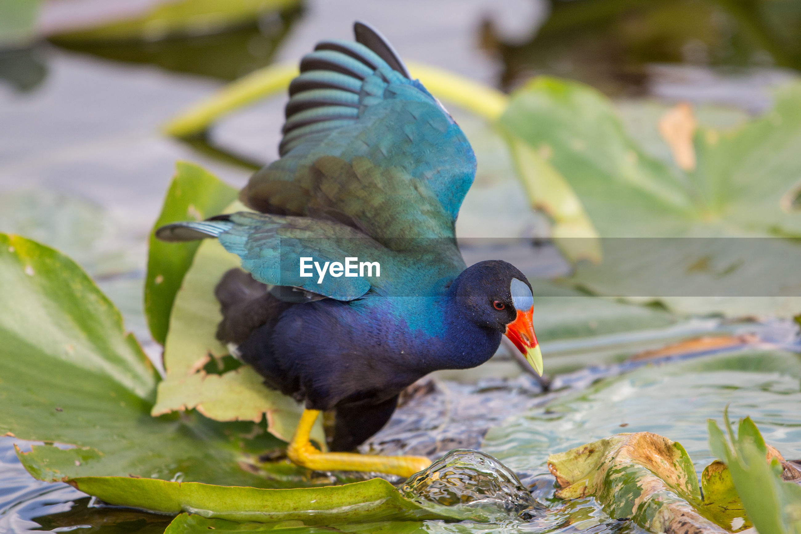 American purple gallinule, porphyrio martinicus,  everglades national park, florida