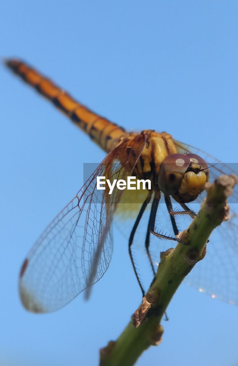 invertebrate, insect, animals in the wild, animal wildlife, one animal, animal themes, animal, animal wing, sky, dragonfly, nature, close-up, blue, clear sky, day, focus on foreground, no people, outdoors, sunlight, plant