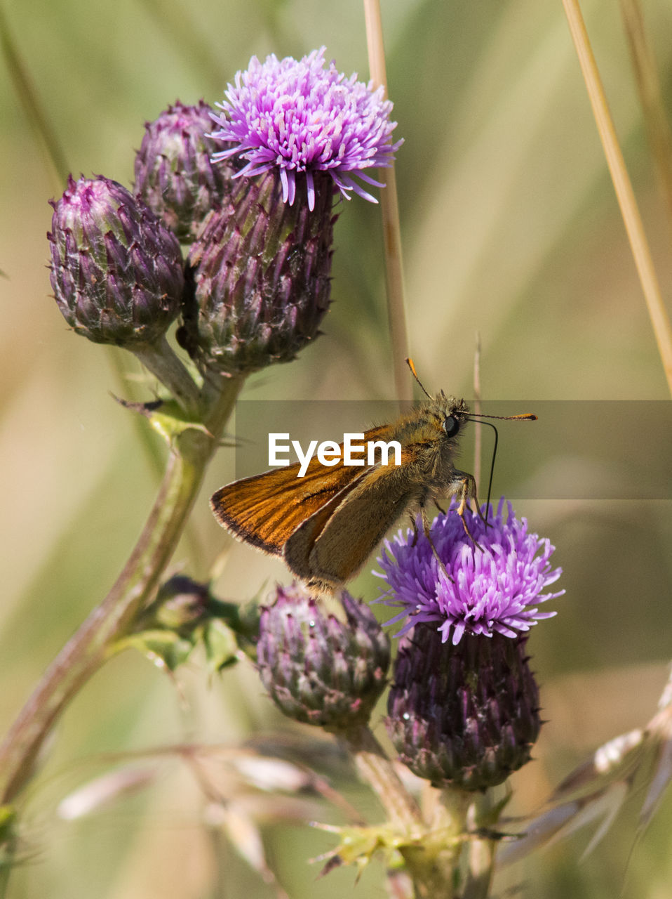 flower, flowering plant, plant, beauty in nature, animal themes, one animal, purple, animal, insect, animals in the wild, invertebrate, animal wildlife, freshness, close-up, growth, fragility, petal, flower head, vulnerability, nature, animal wing, pollination, no people, butterfly - insect, outdoors