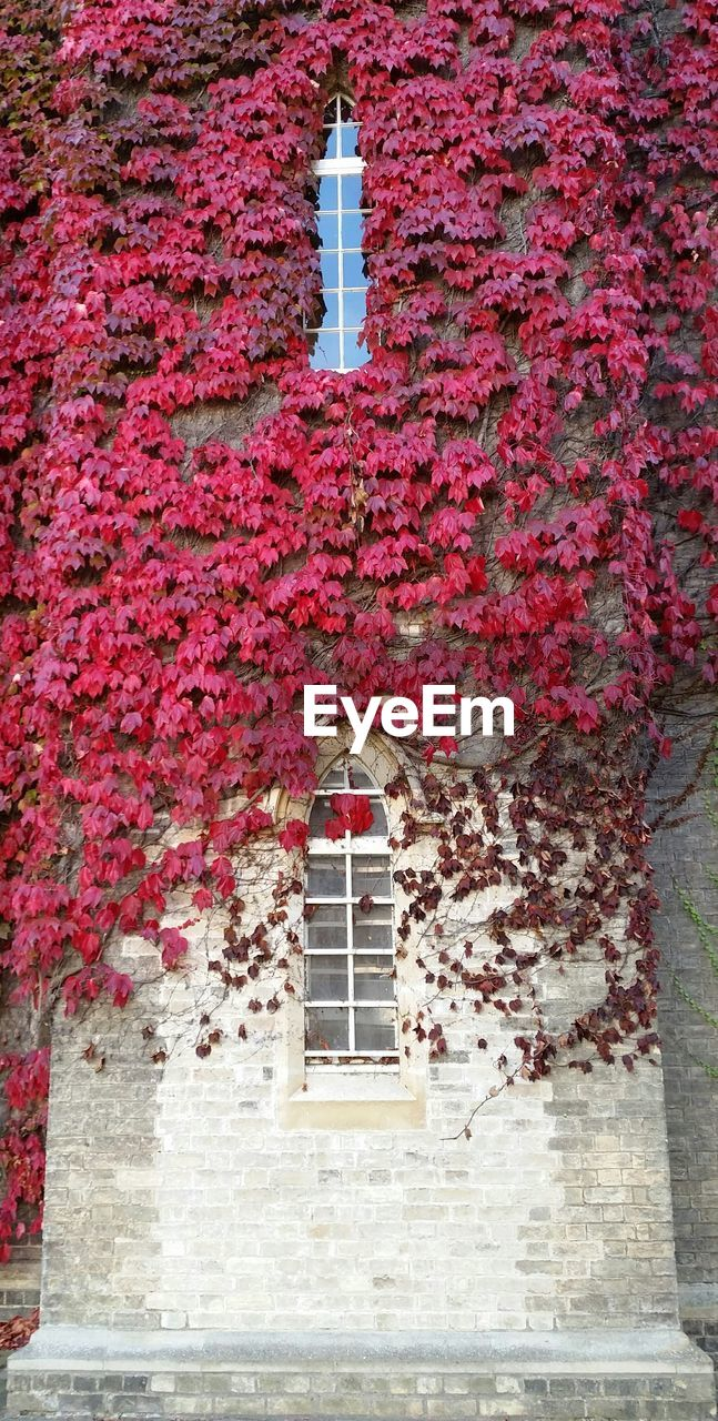 building exterior, built structure, architecture, ivy, outdoors, day, no people, autumn, leaf, red, change, plant, creeper plant, nature, low angle view, whitewashed, beauty in nature, tree, close-up