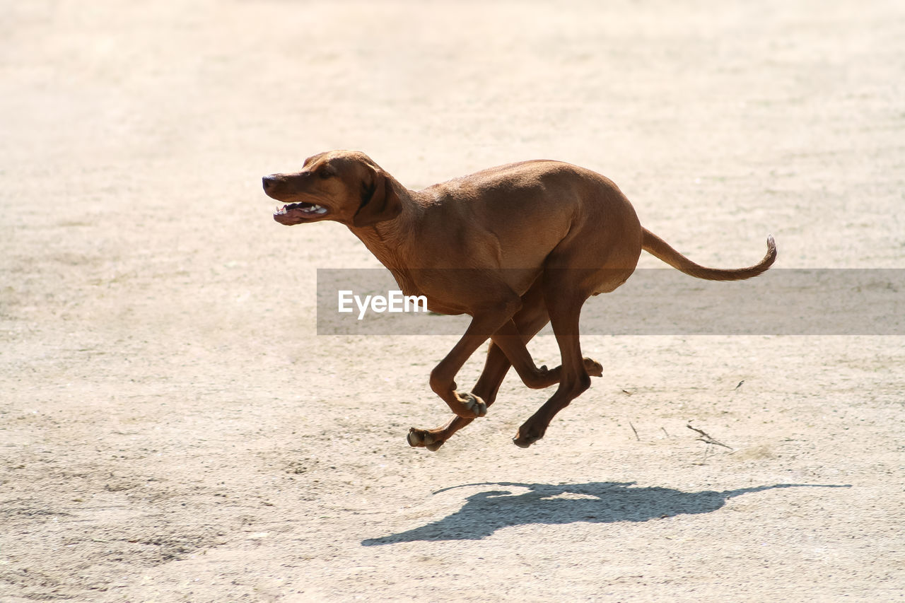 one animal, animal themes, mammal, animal, domestic animals, pets, canine, dog, domestic, vertebrate, sunlight, nature, no people, side view, running, day, land, motion, full length, shadow, weimaraner
