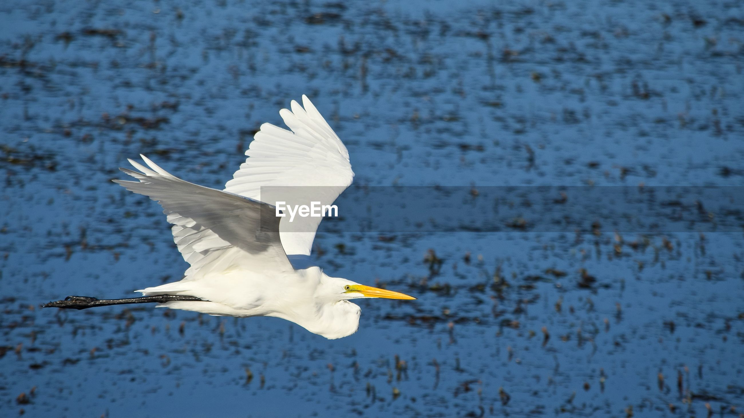 CLOSE-UP OF WHITE FLYING OVER LAKE