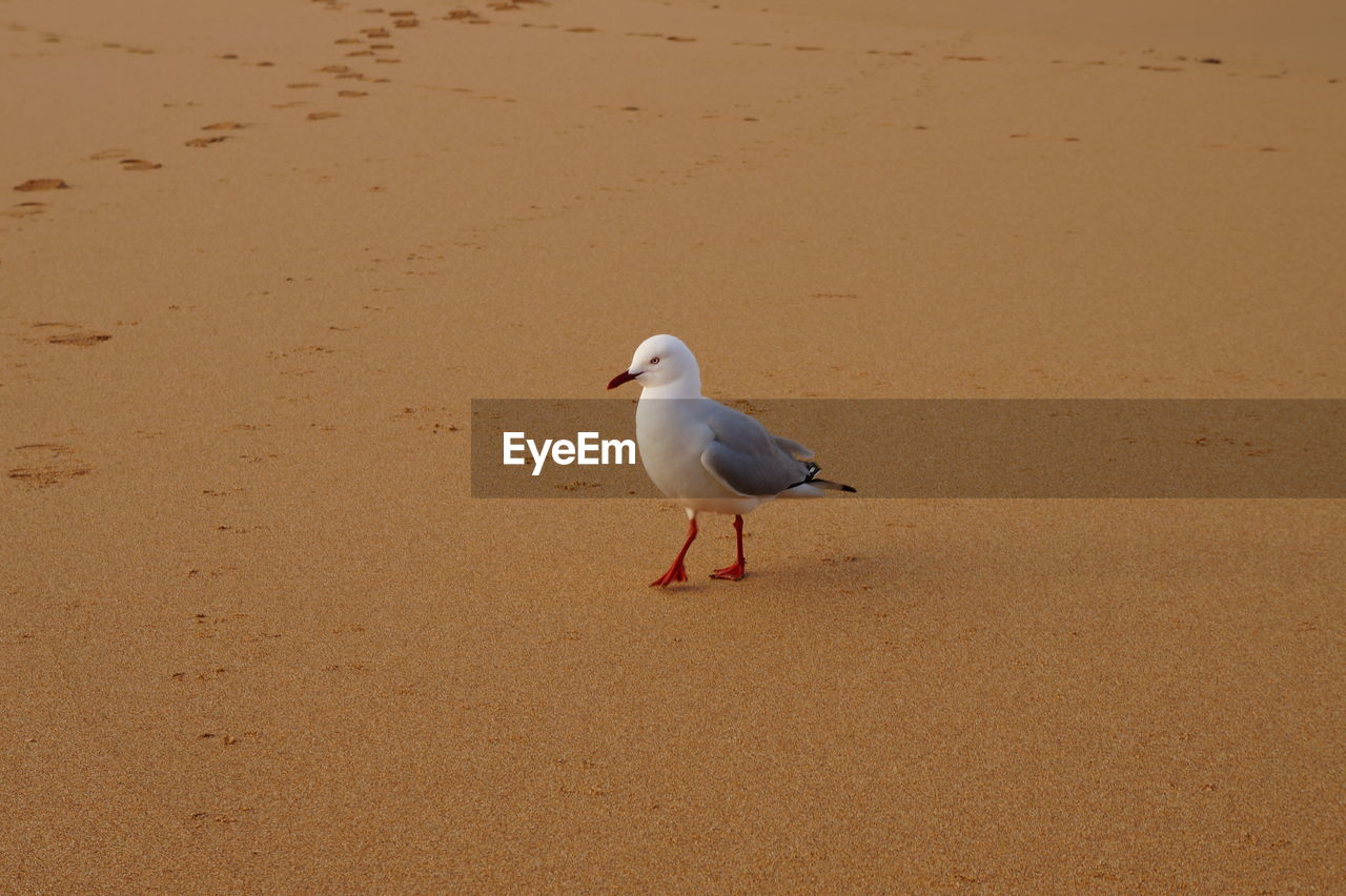 sand, beach, nature, animal themes, bird, one animal, shore, animals in the wild, day, no people, outdoors, animal wildlife, sea, seagull, water, beauty in nature, perching