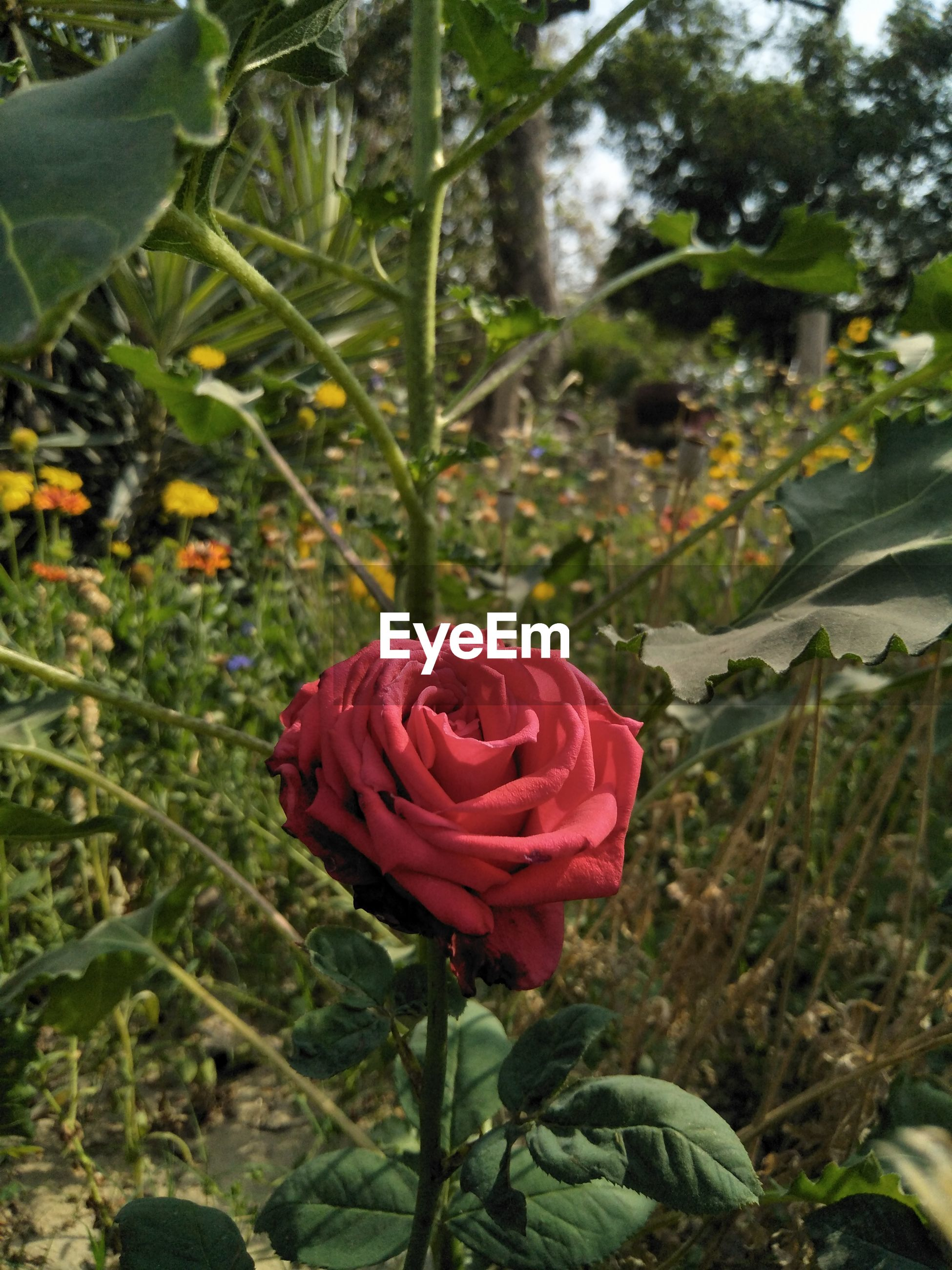 flower, growth, nature, petal, fragility, beauty in nature, red, flower head, plant, freshness, blooming, rose - flower, outdoors, no people, day, close-up