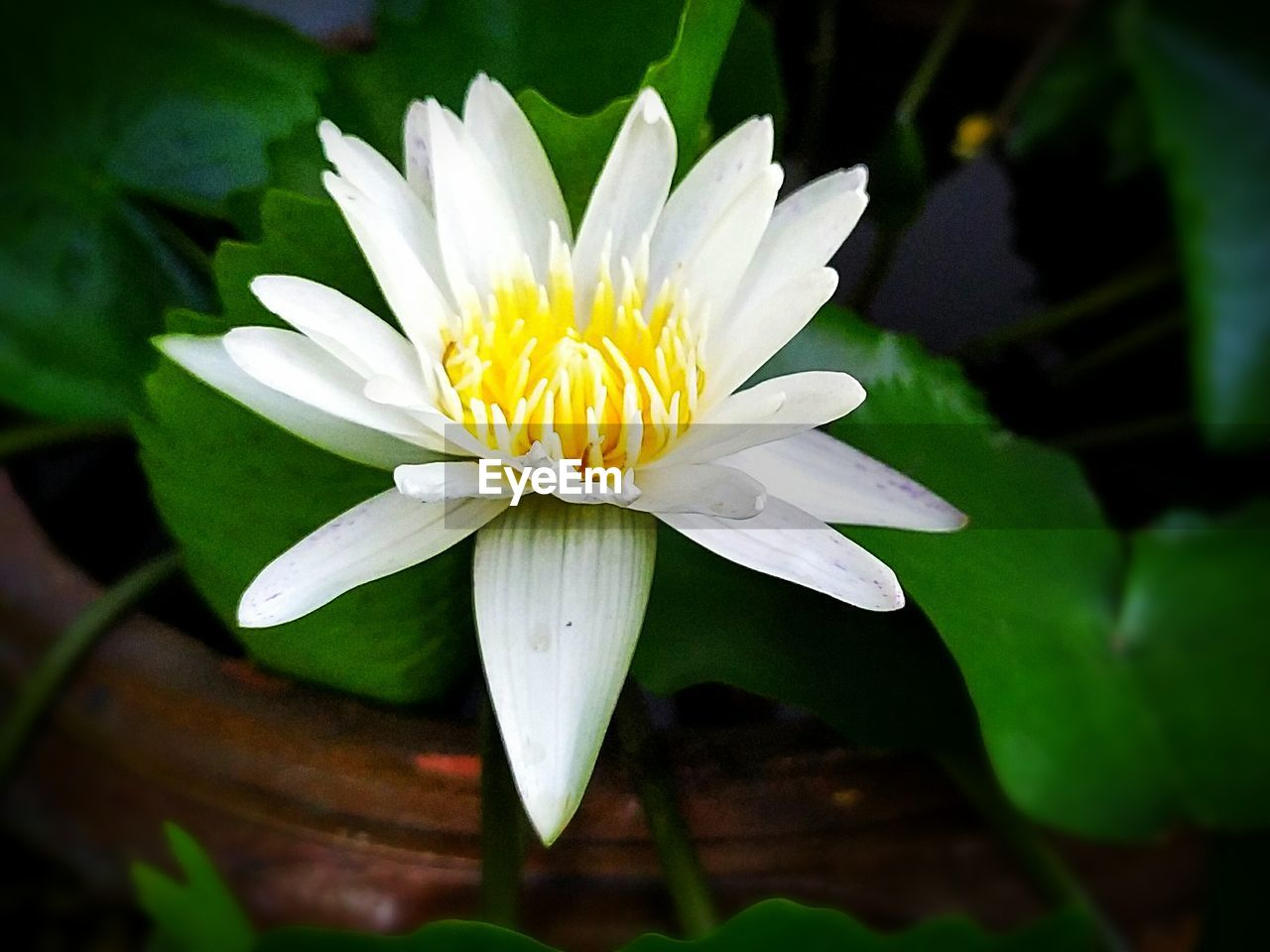 flower, flowering plant, fragility, plant, vulnerability, freshness, petal, beauty in nature, flower head, inflorescence, growth, close-up, leaf, water lily, plant part, white color, nature, day, pollen, no people, lotus water lily, gazania