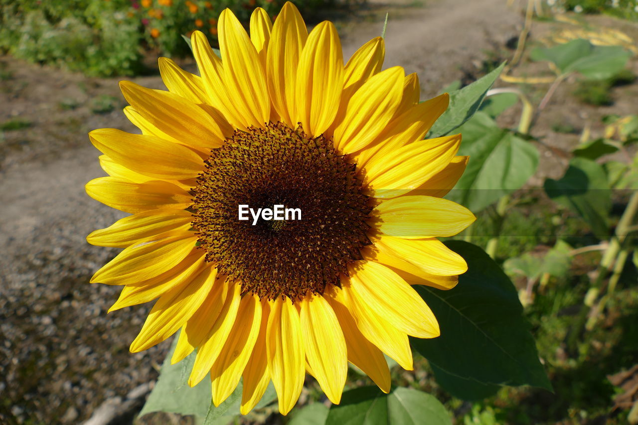 flower, yellow, petal, fragility, flower head, nature, beauty in nature, freshness, growth, plant, pollen, outdoors, day, field, no people, blooming, sunflower, close-up