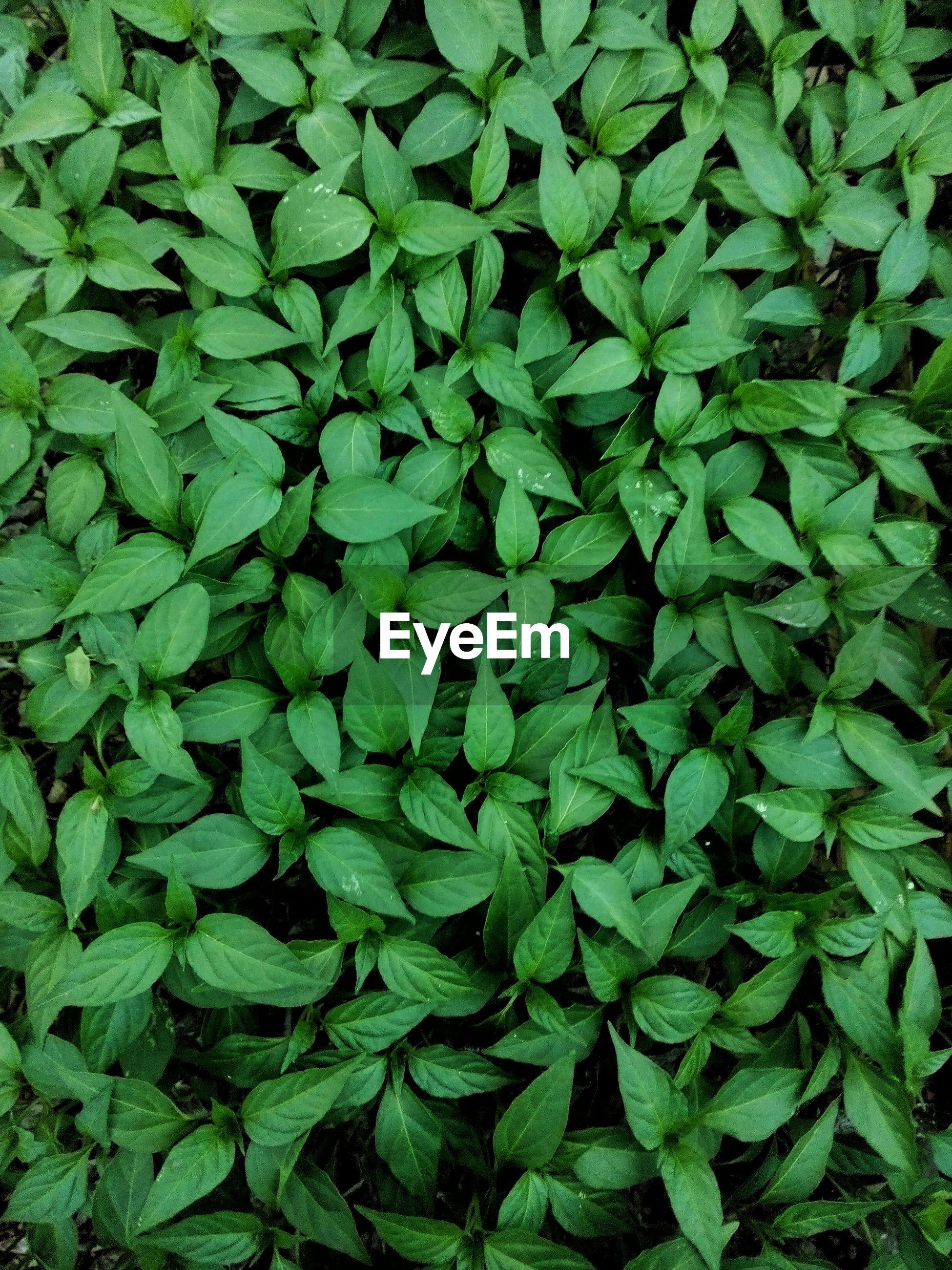 FULL FRAME OF GREEN LEAVES