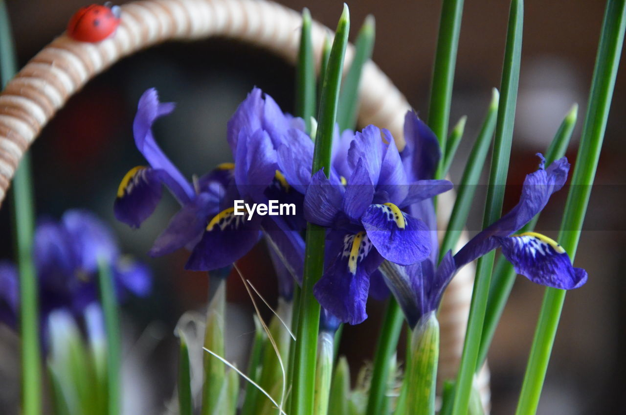 flower, flowering plant, plant, purple, vulnerability, beauty in nature, fragility, freshness, close-up, growth, nature, petal, flower head, inflorescence, selective focus, iris, day, focus on foreground, blue, plant stem, iris - plant, crocus