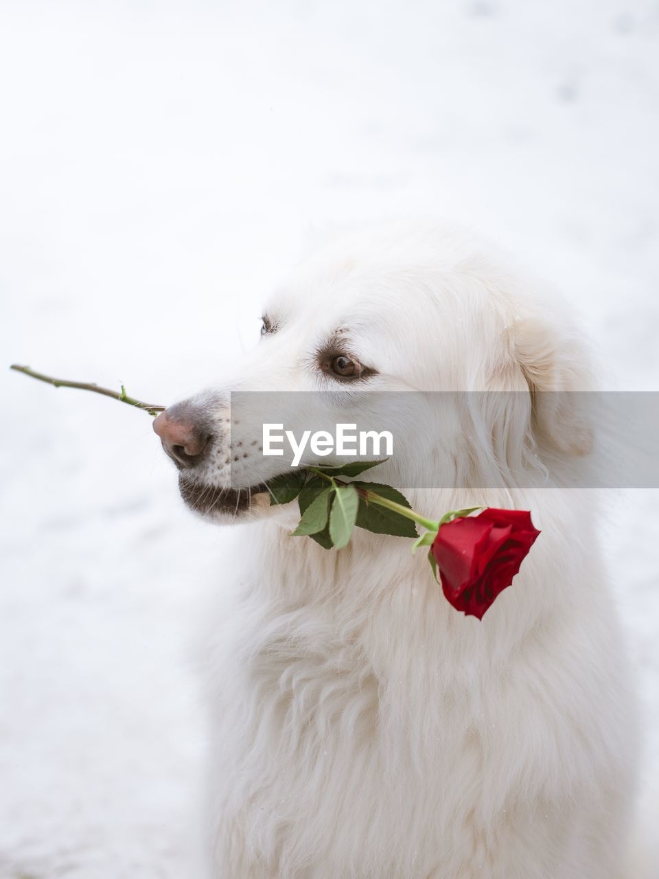 Close-up of dog carrying rose in mouth sitting outdoors during winter