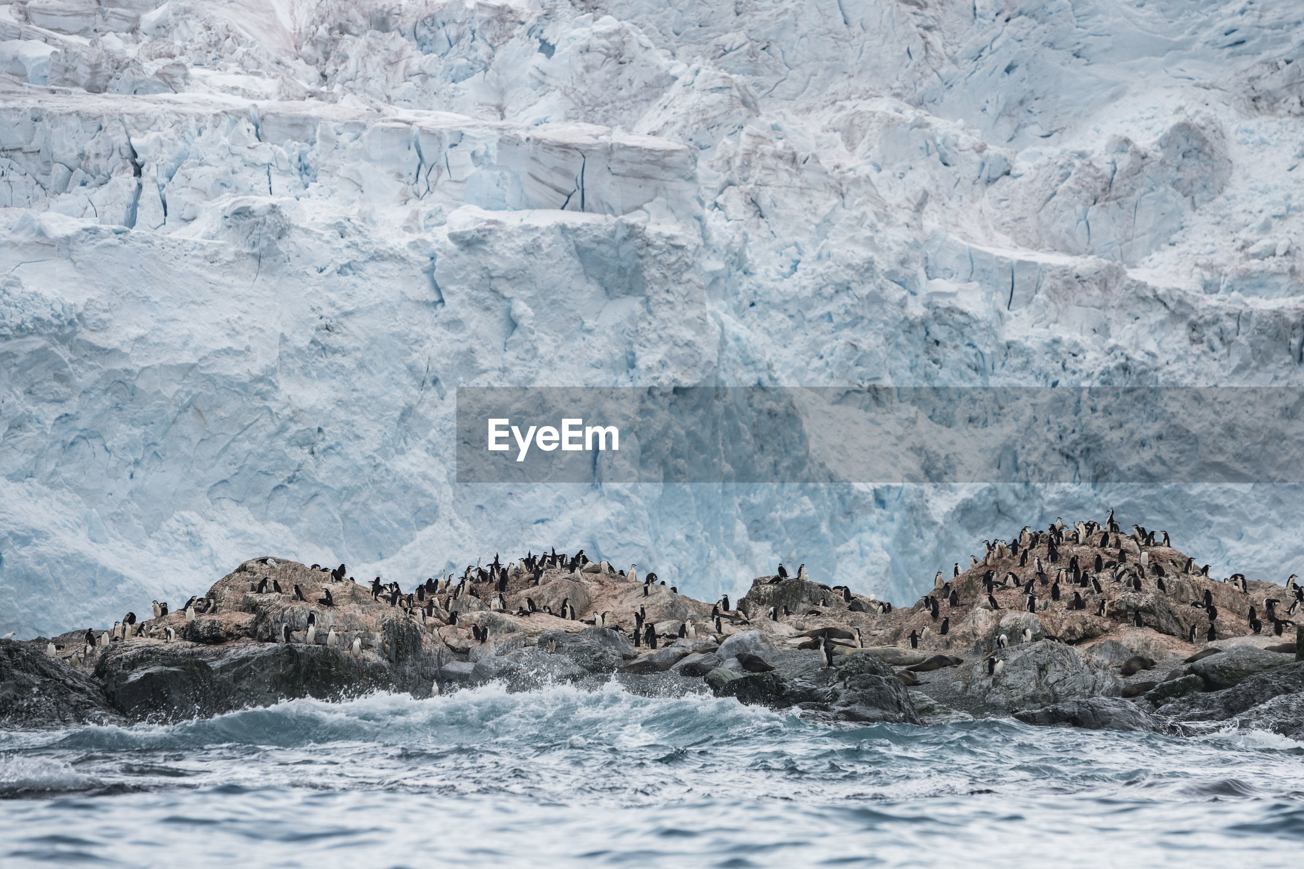 Chinstrap penguin colony in front of a glacier on elephant island, antarctica.