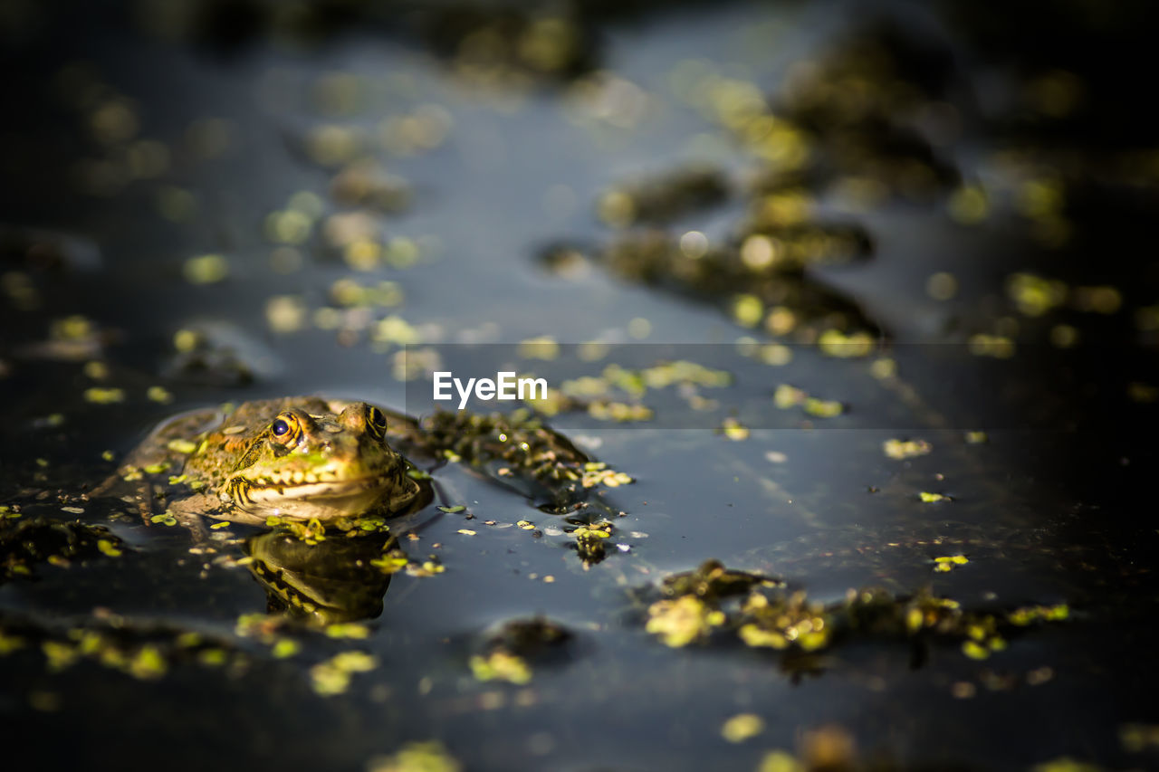 Close-Up Of Frog In Water