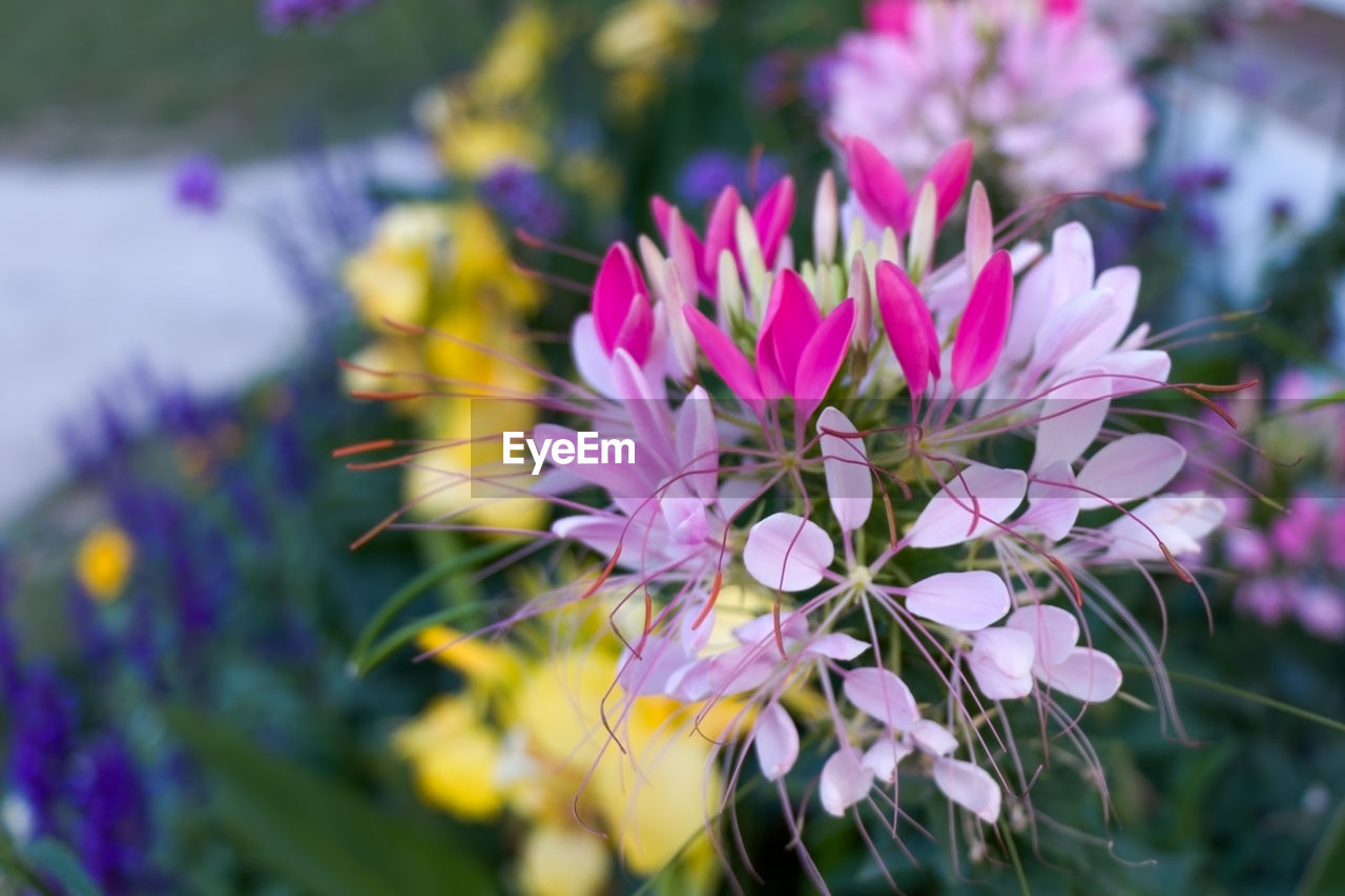 flower, petal, nature, fragility, beauty in nature, growth, freshness, pink color, flower head, no people, plant, close-up, outdoors, day, blooming