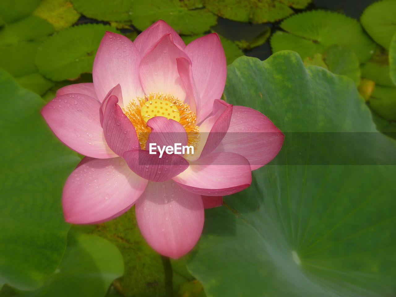 flowering plant, flower, plant, freshness, beauty in nature, petal, pink color, growth, vulnerability, flower head, inflorescence, fragility, close-up, leaf, nature, water, plant part, water lily, no people, pollen, outdoors, lotus water lily