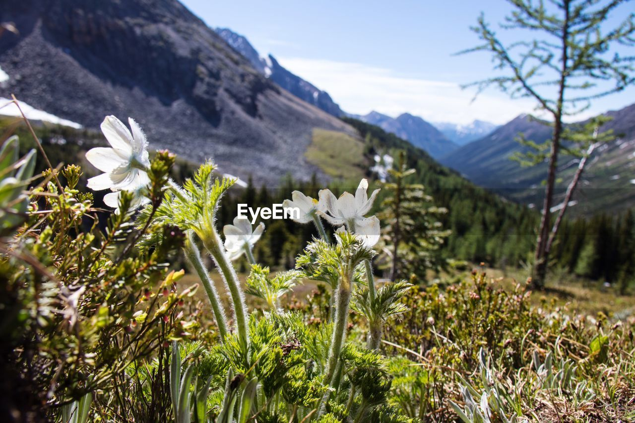 CLOSE-UP OF WHITE FLOWERING PLANTS ON FIELD AGAINST MOUNTAINS