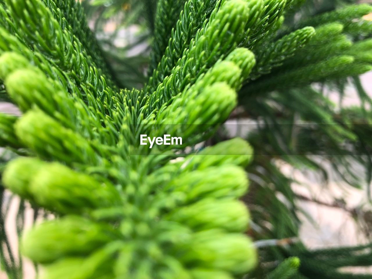 green color, growth, plant, close-up, plant part, leaf, selective focus, no people, day, nature, beauty in nature, focus on foreground, pine tree, freshness, outdoors, coniferous tree, tree, natural pattern, full frame, pattern, needle - plant part, fir tree