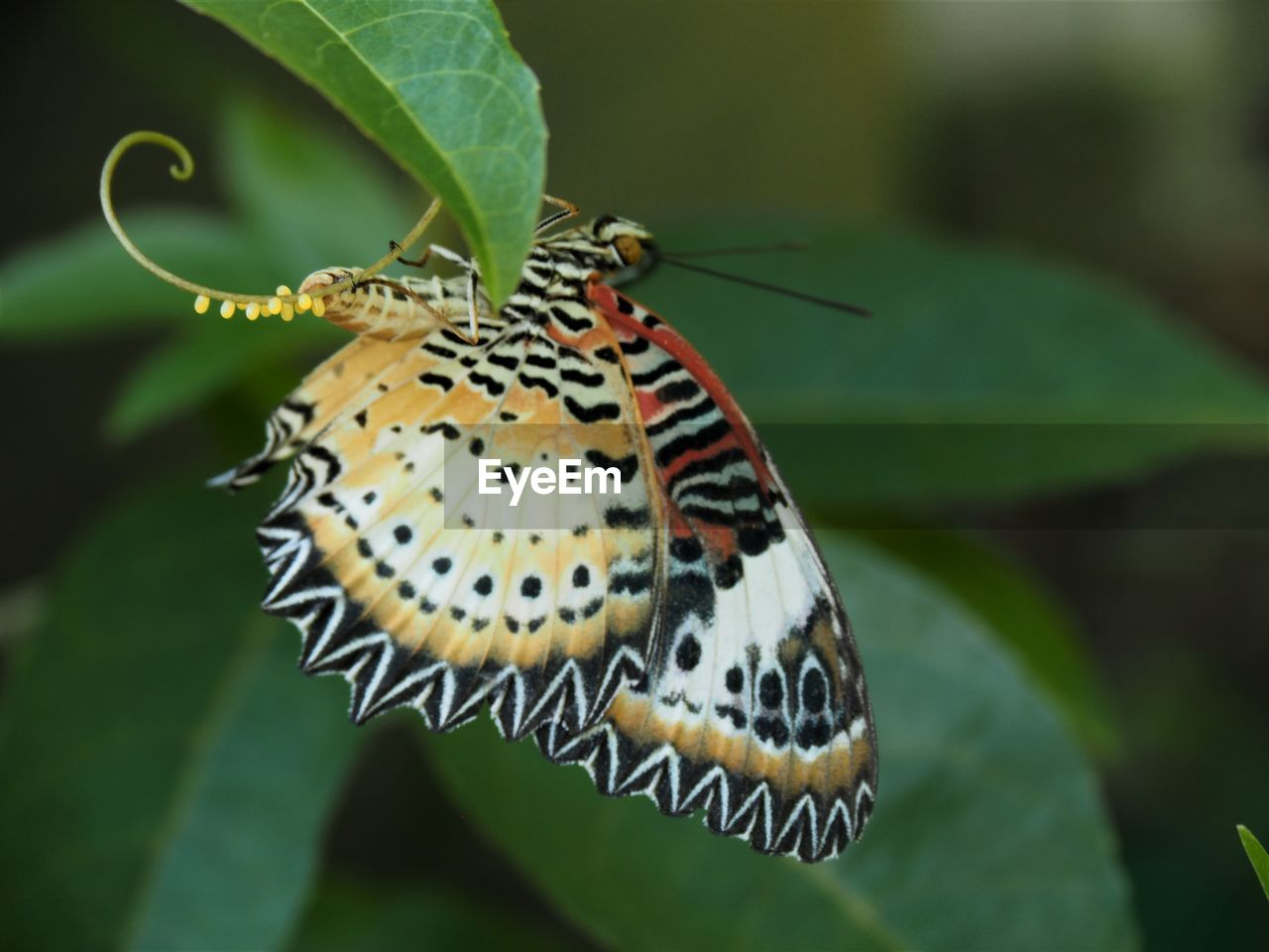 one animal, insect, animal themes, invertebrate, animals in the wild, animal wildlife, animal, plant part, leaf, close-up, focus on foreground, animal wing, beauty in nature, plant, nature, butterfly - insect, day, no people, animal markings, green color, butterfly, outdoors