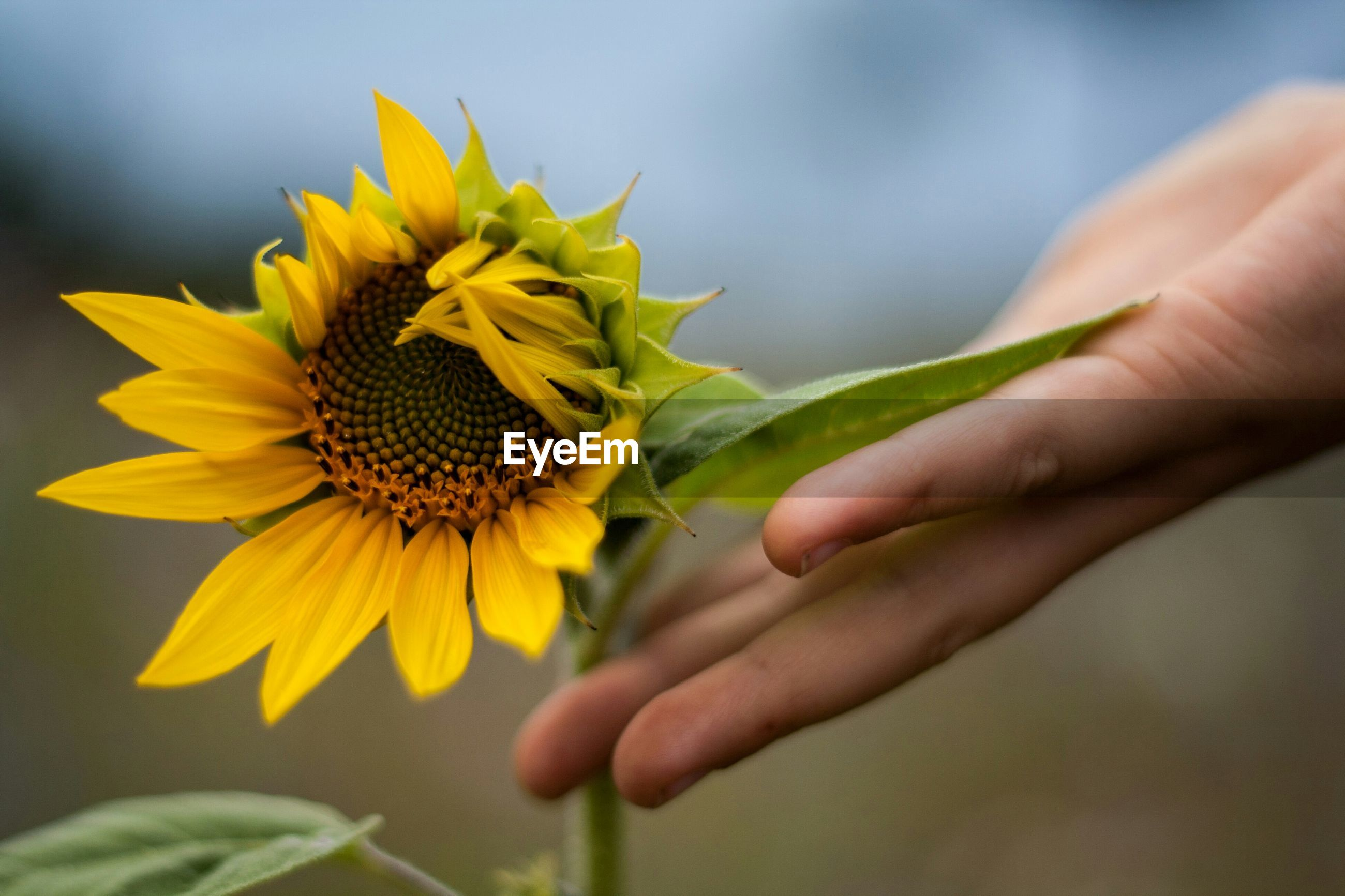 Close-up of hand touching sunflower plant