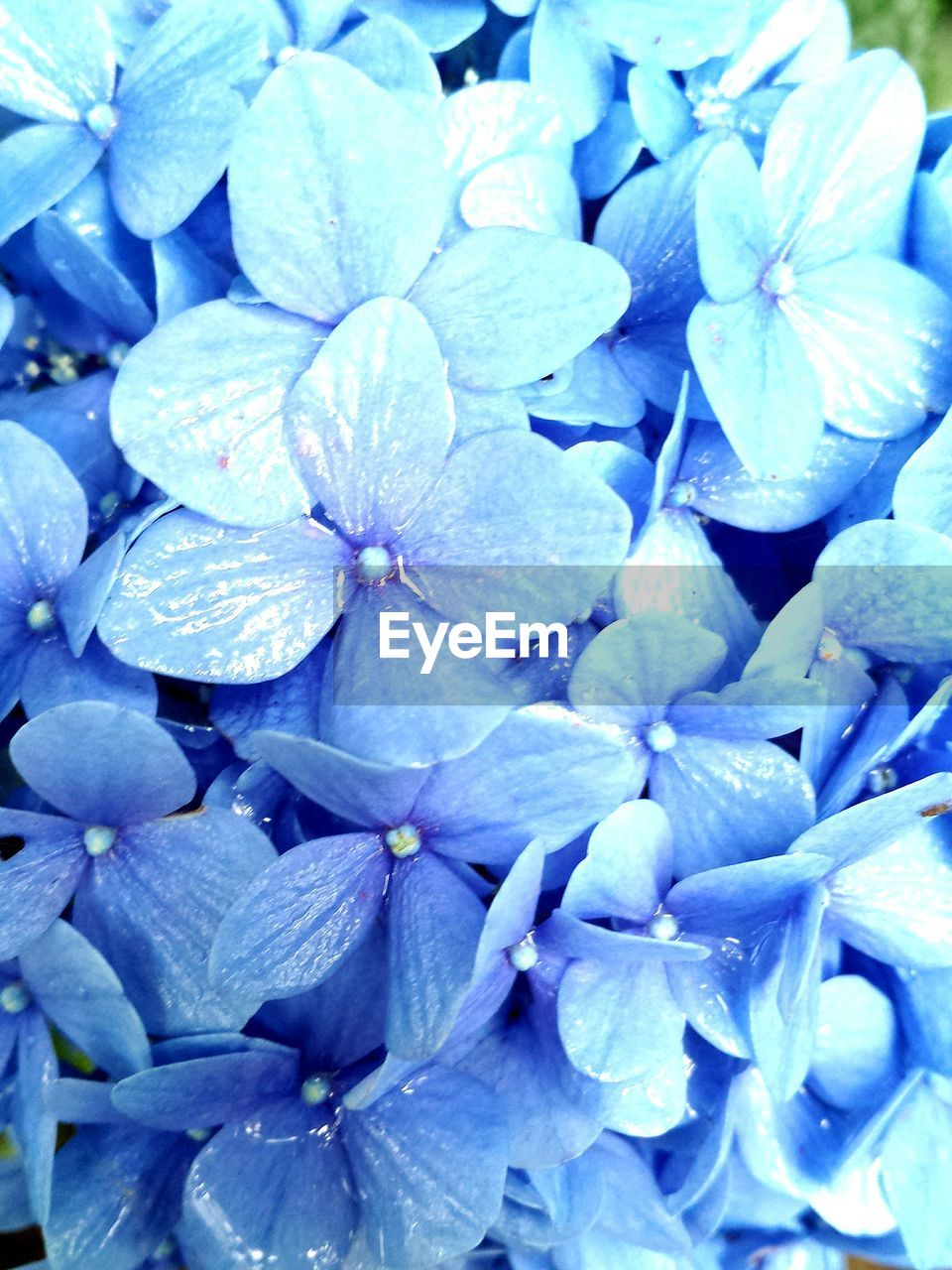 flower, petal, beauty in nature, nature, backgrounds, plant, full frame, growth, no people, fragility, freshness, outdoors, hydrangea, flower head, day, blue, blooming, close-up