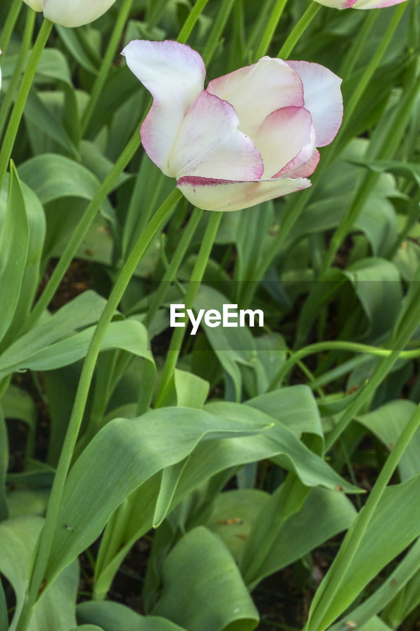 plant, flowering plant, flower, beauty in nature, growth, vulnerability, petal, fragility, freshness, close-up, flower head, inflorescence, green color, pink color, nature, no people, leaf, plant part, day, field, outdoors