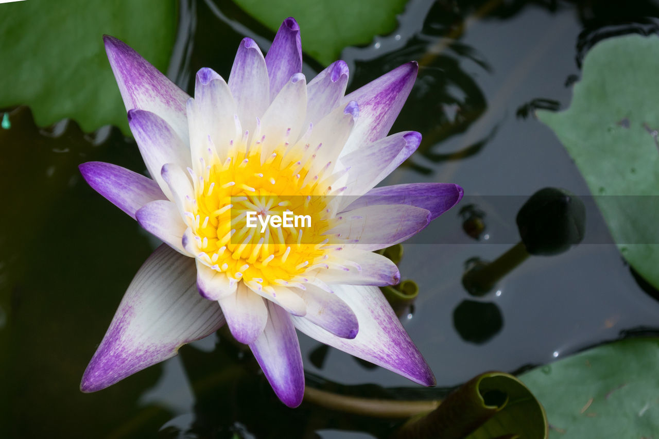 flower, flowering plant, plant, petal, vulnerability, fragility, beauty in nature, inflorescence, flower head, freshness, growth, close-up, water, pollen, nature, focus on foreground, no people, yellow, lake, purple