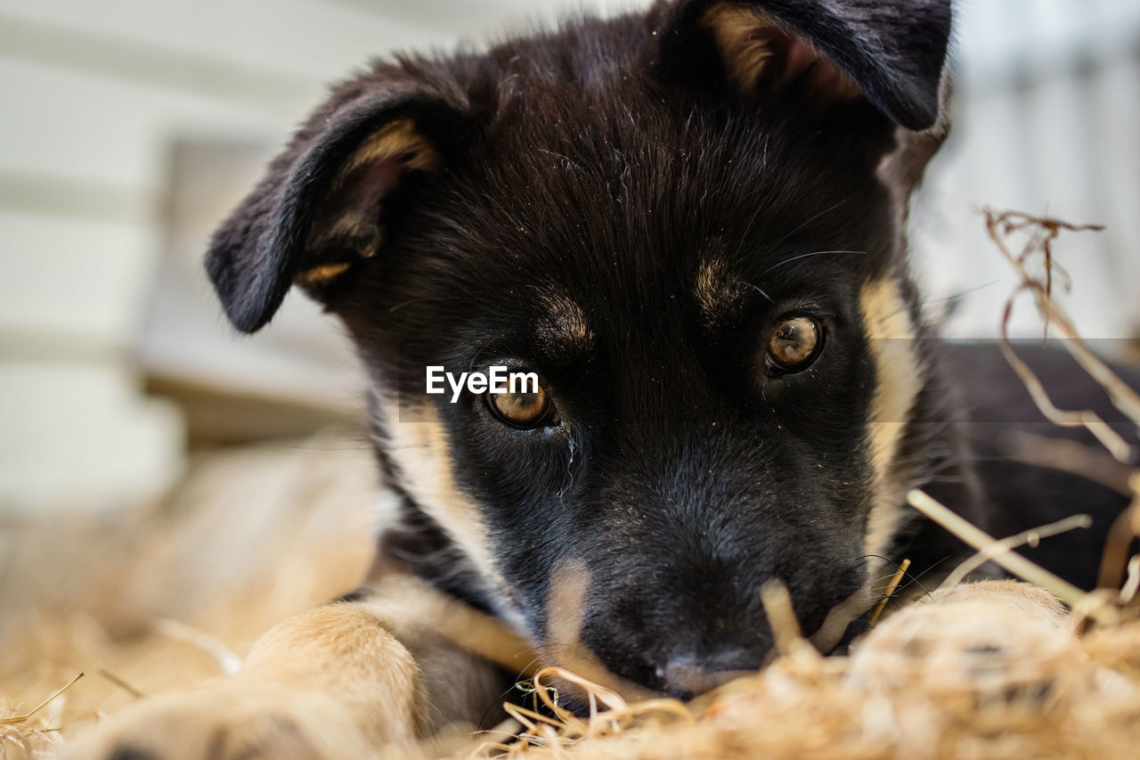 mammal, animal themes, one animal, domestic, pets, domestic animals, animal, vertebrate, dog, canine, portrait, looking at camera, close-up, black color, selective focus, no people, focus on foreground, animal body part, looking, animal head, whisker, animal eye