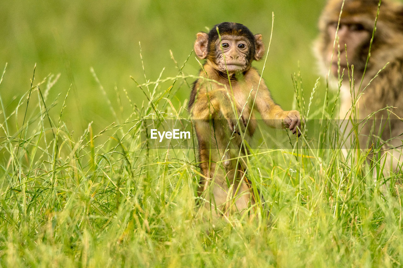 Close-up of monkey on grassy field