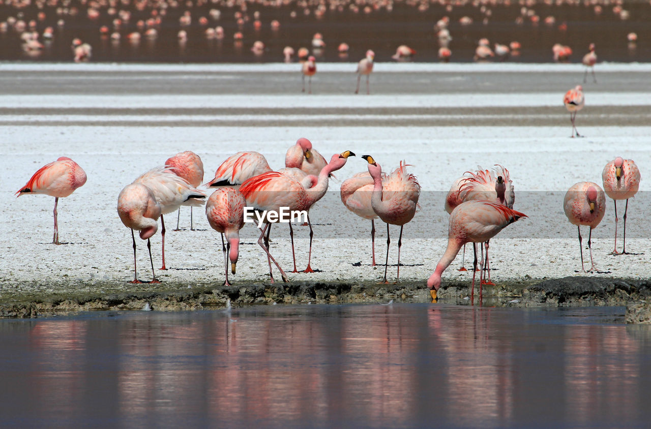 water, bird, animal themes, animals in the wild, animal, group of animals, vertebrate, flamingo, large group of animals, pink color, animal wildlife, nature, lake, no people, day, beauty in nature, reflection, travel destinations, wading, outdoors, flock of birds, drinking, freshwater bird, mud