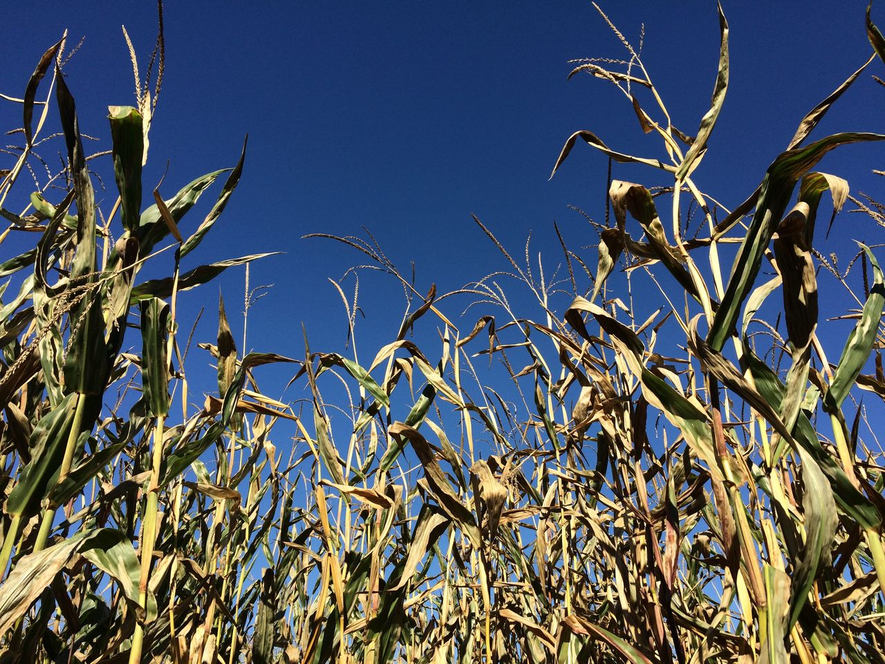 LOW ANGLE VIEW OF CROPS GROWING AGAINST BLUE SKY