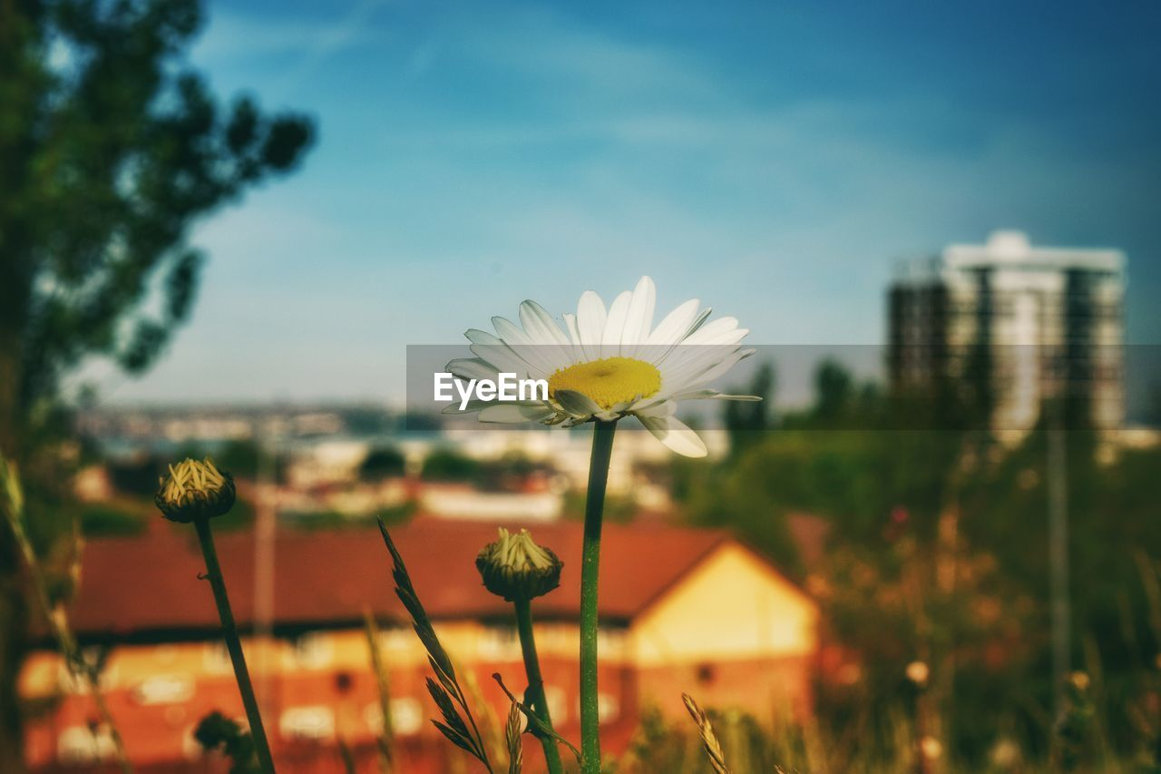 flowering plant, flower, plant, fragility, vulnerability, freshness, growth, beauty in nature, flower head, petal, focus on foreground, inflorescence, close-up, nature, sky, plant stem, day, yellow, no people, outdoors