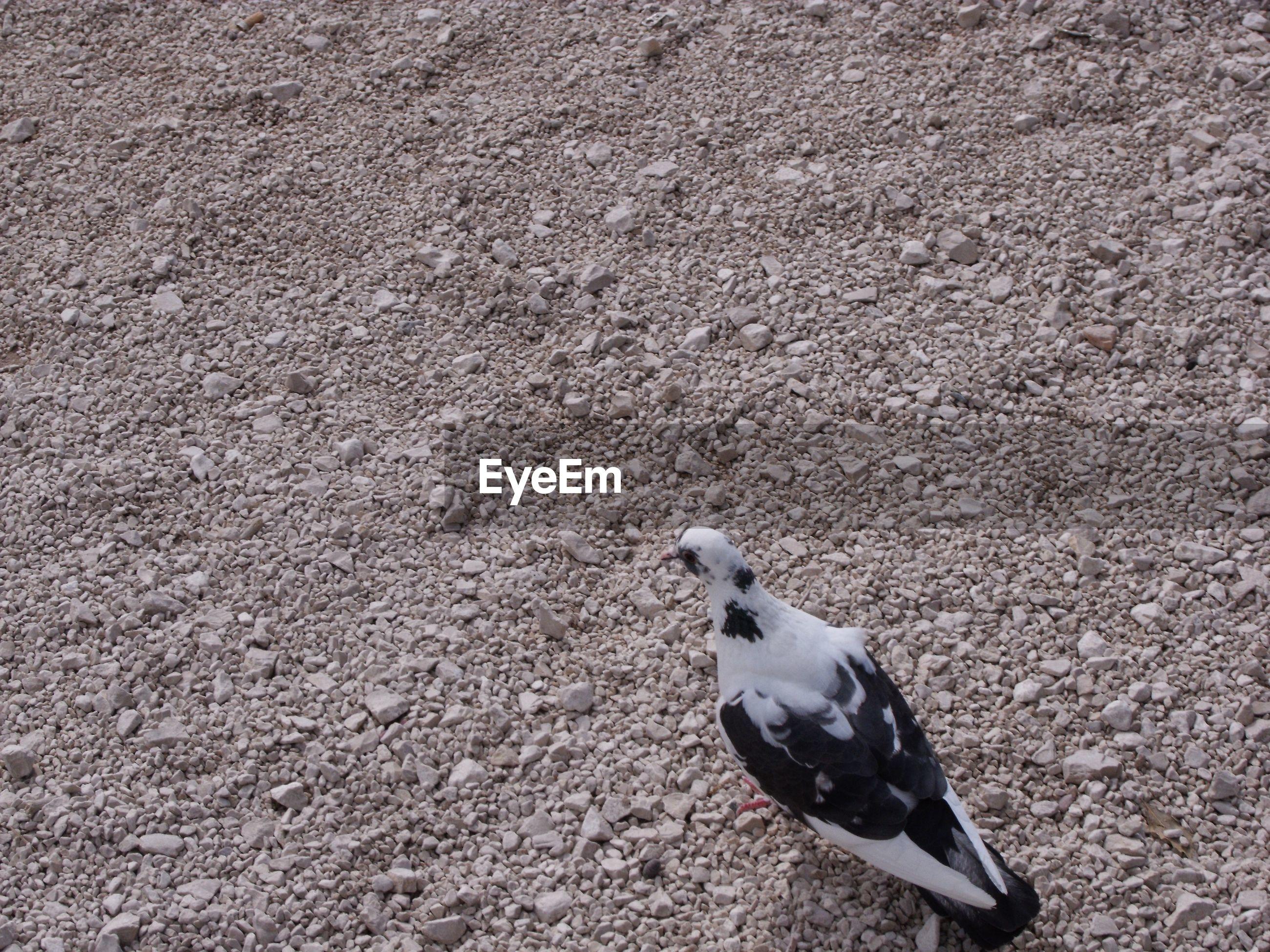 High angle view of pigeon on sand