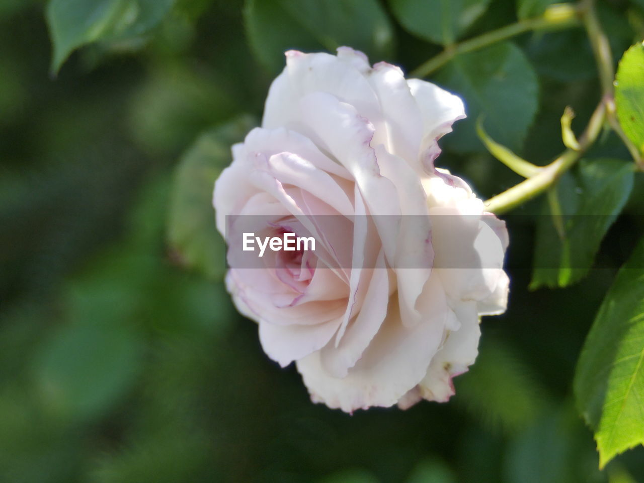 flower, petal, nature, beauty in nature, fragility, white color, flower head, growth, freshness, plant, no people, rose - flower, day, close-up, outdoors, blooming