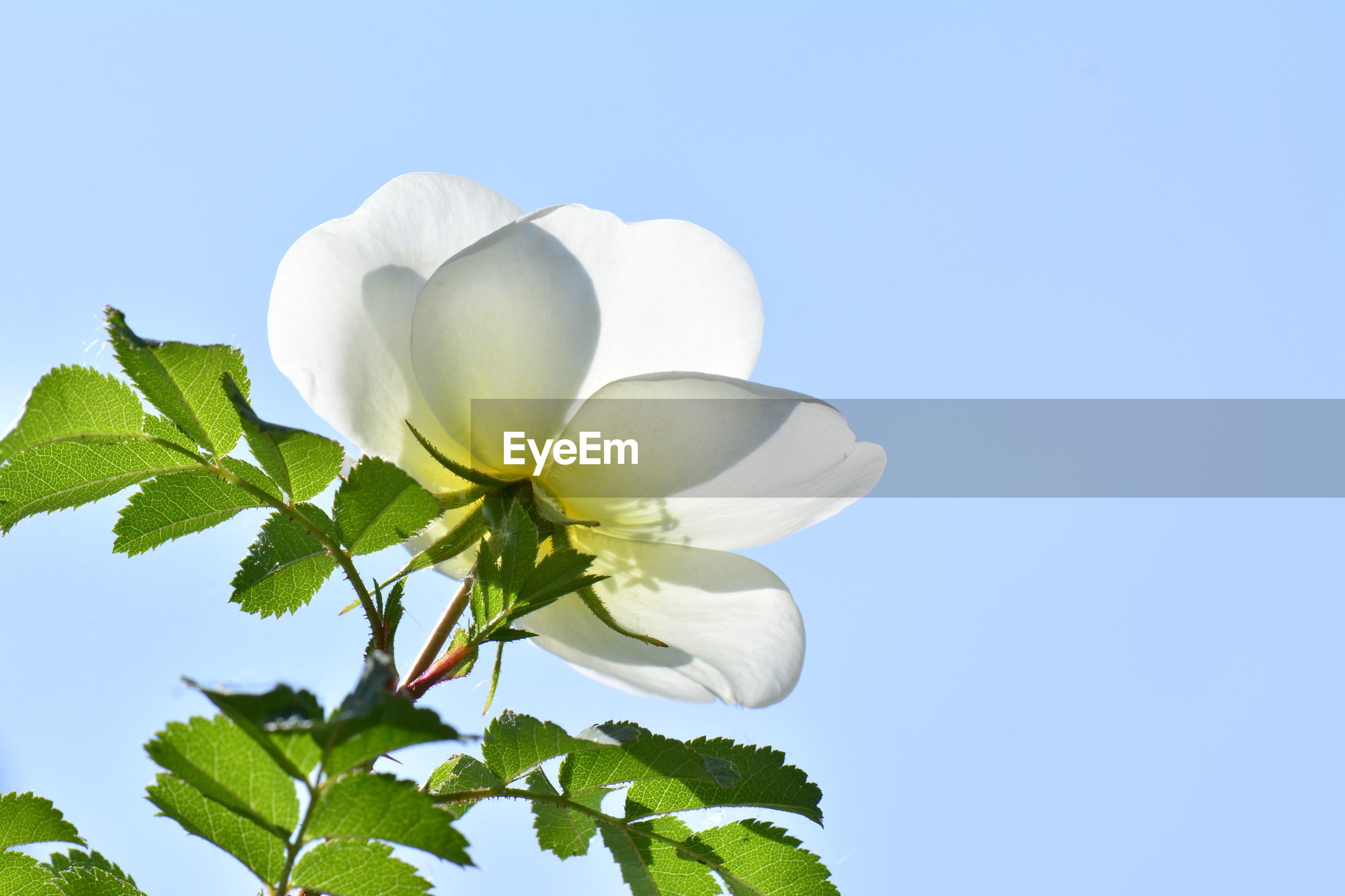 LOW ANGLE VIEW OF WHITE FLOWERING PLANTS AGAINST CLEAR SKY