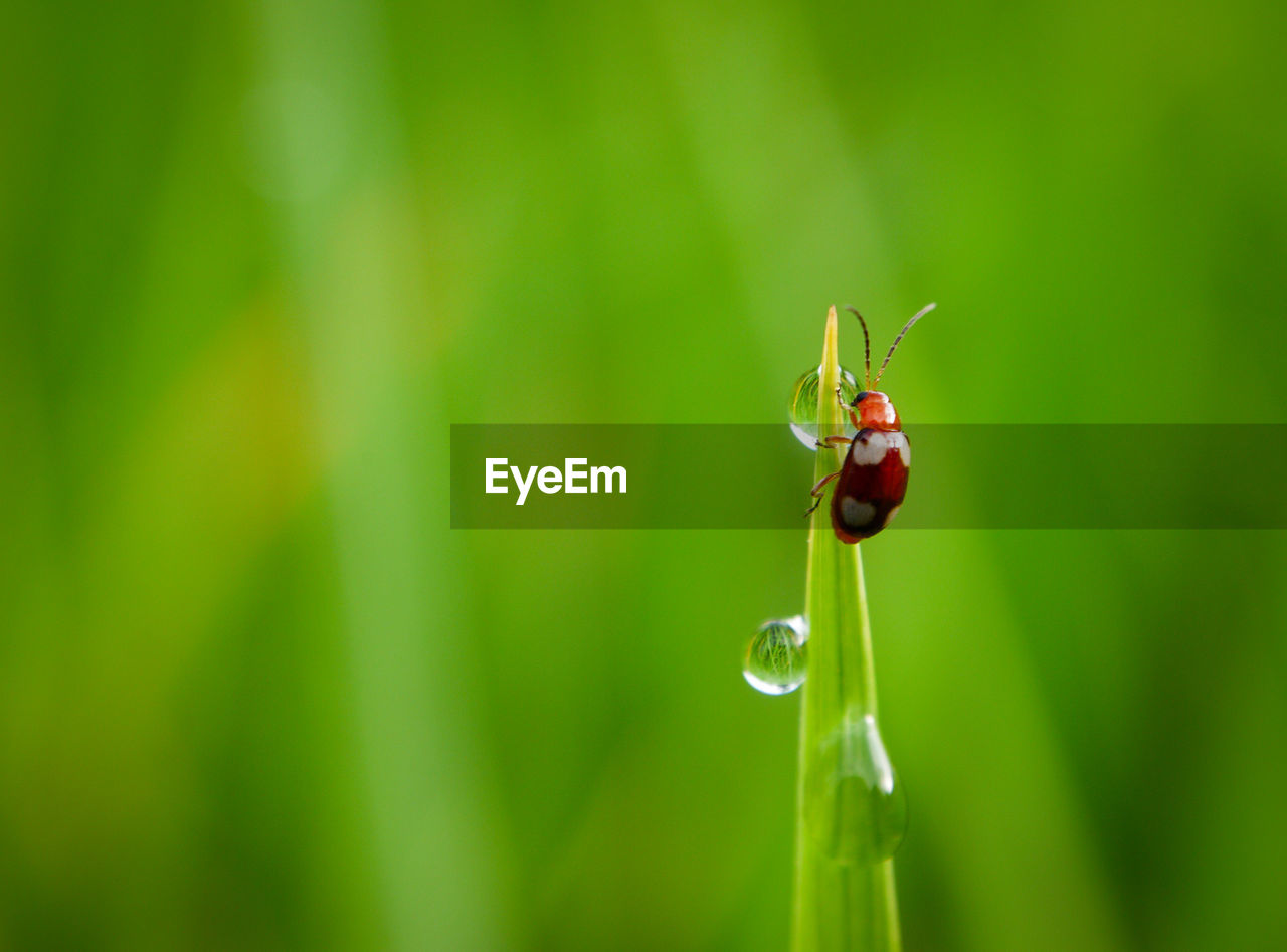 animal, animal themes, close-up, animal wildlife, animals in the wild, one animal, insect, invertebrate, focus on foreground, green color, plant, drop, red, nature, selective focus, beetle, ladybug, beauty in nature, water, no people, outdoors, small, blade of grass