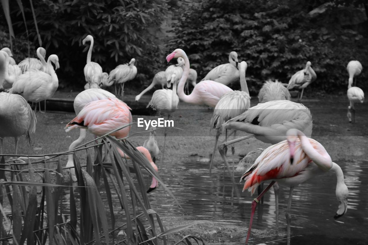 flamingo, bird, animals in the wild, animal themes, animal wildlife, large group of animals, nature, water, lake, flock of birds, day, outdoors, no people, water bird, beauty in nature, swan